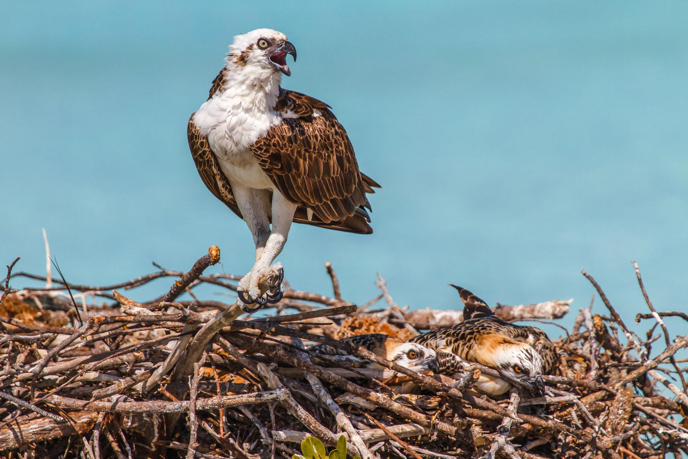 Ospreys/Amateur Category. Lorraine Minns/Audubon Photography Awards