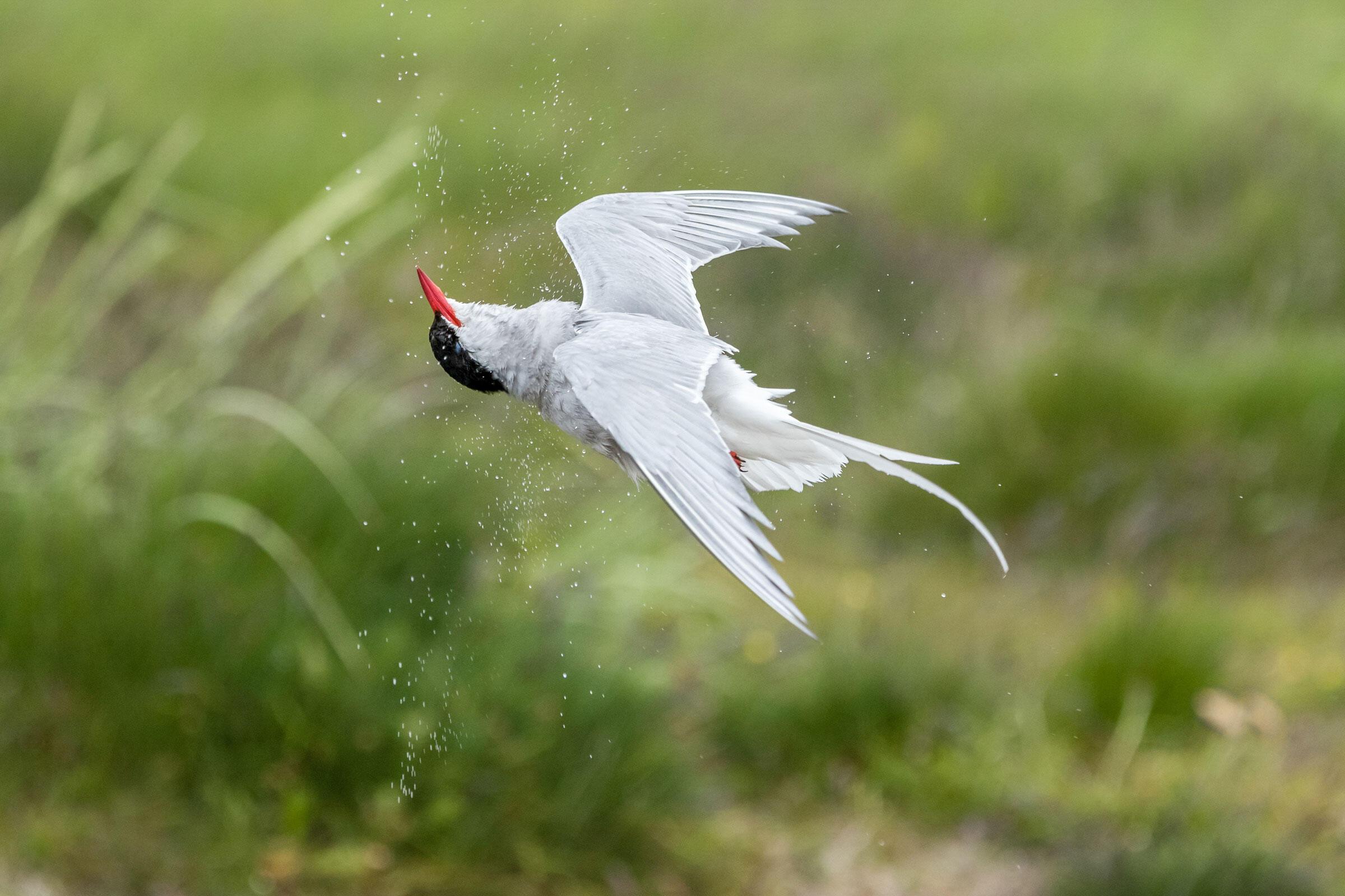 Arctic Tern/Amateur Category. Catherine Dobbins Dalessio/Audubon Photography Awards
