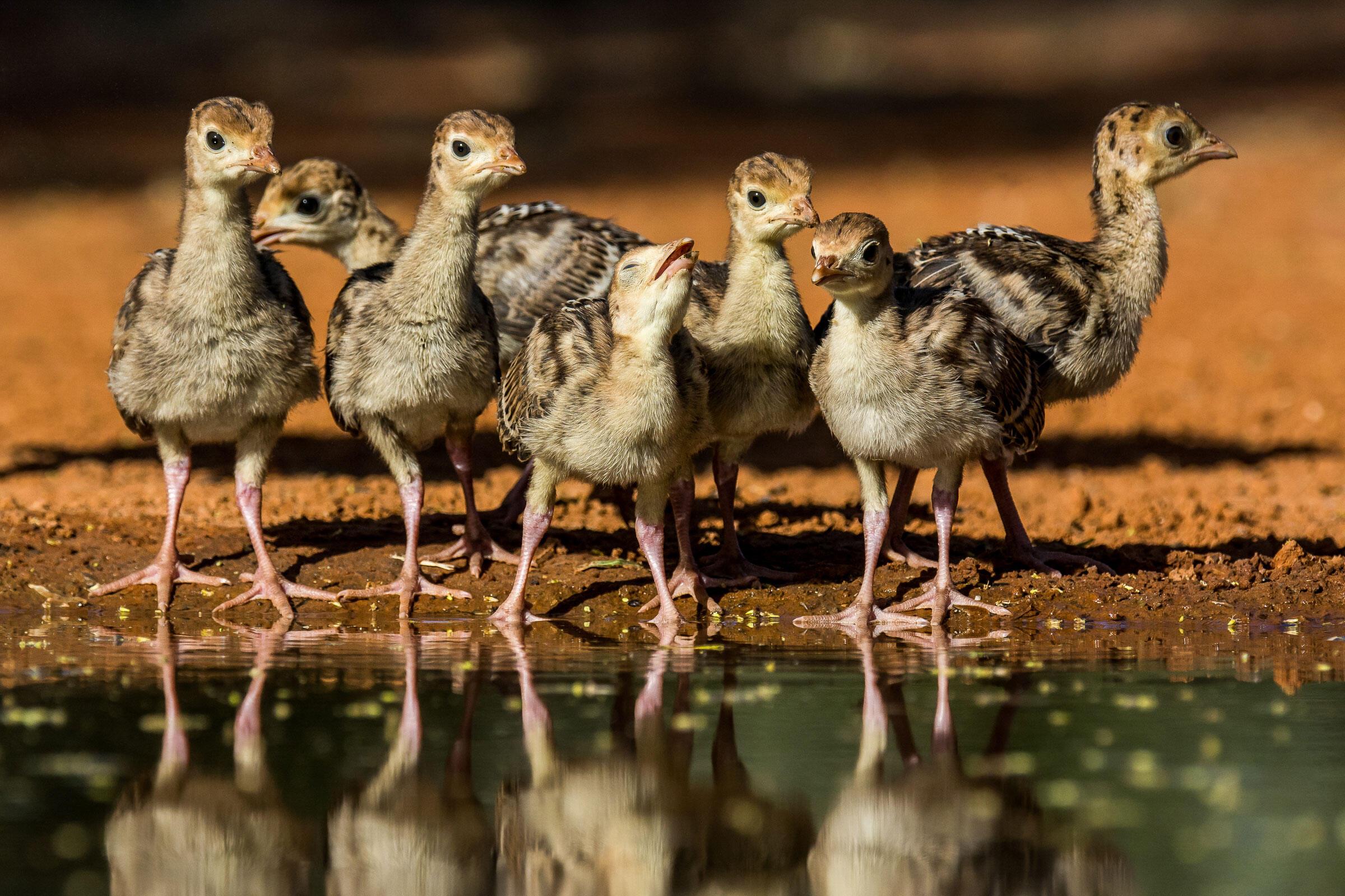 Turkey Poults/Amateur Category. Richard Green/Audubon Photography Awards