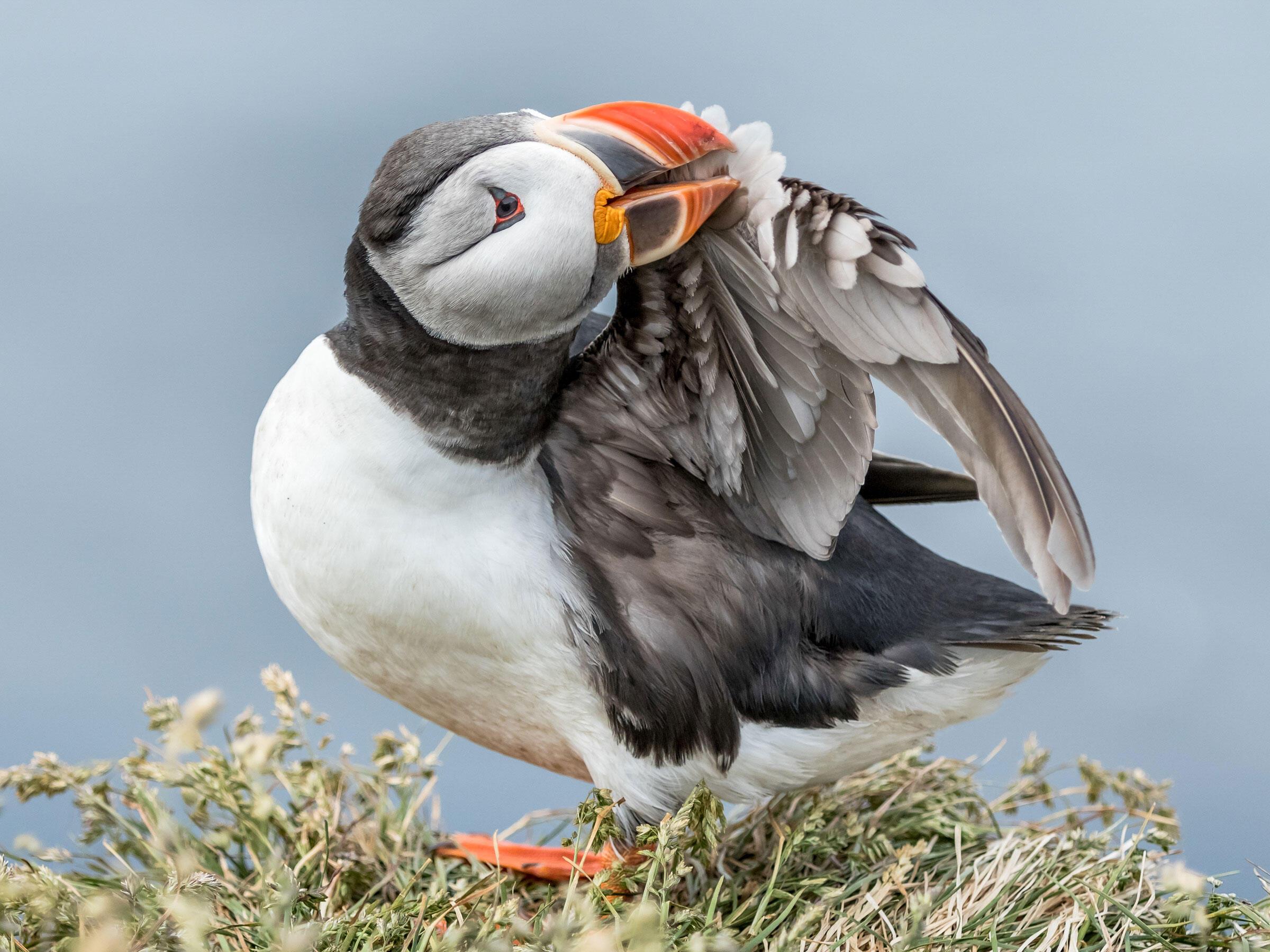 Atlantic Puffin/Amateur Category. Catherine Dobbins Dalessio/Audubon Photography Awards