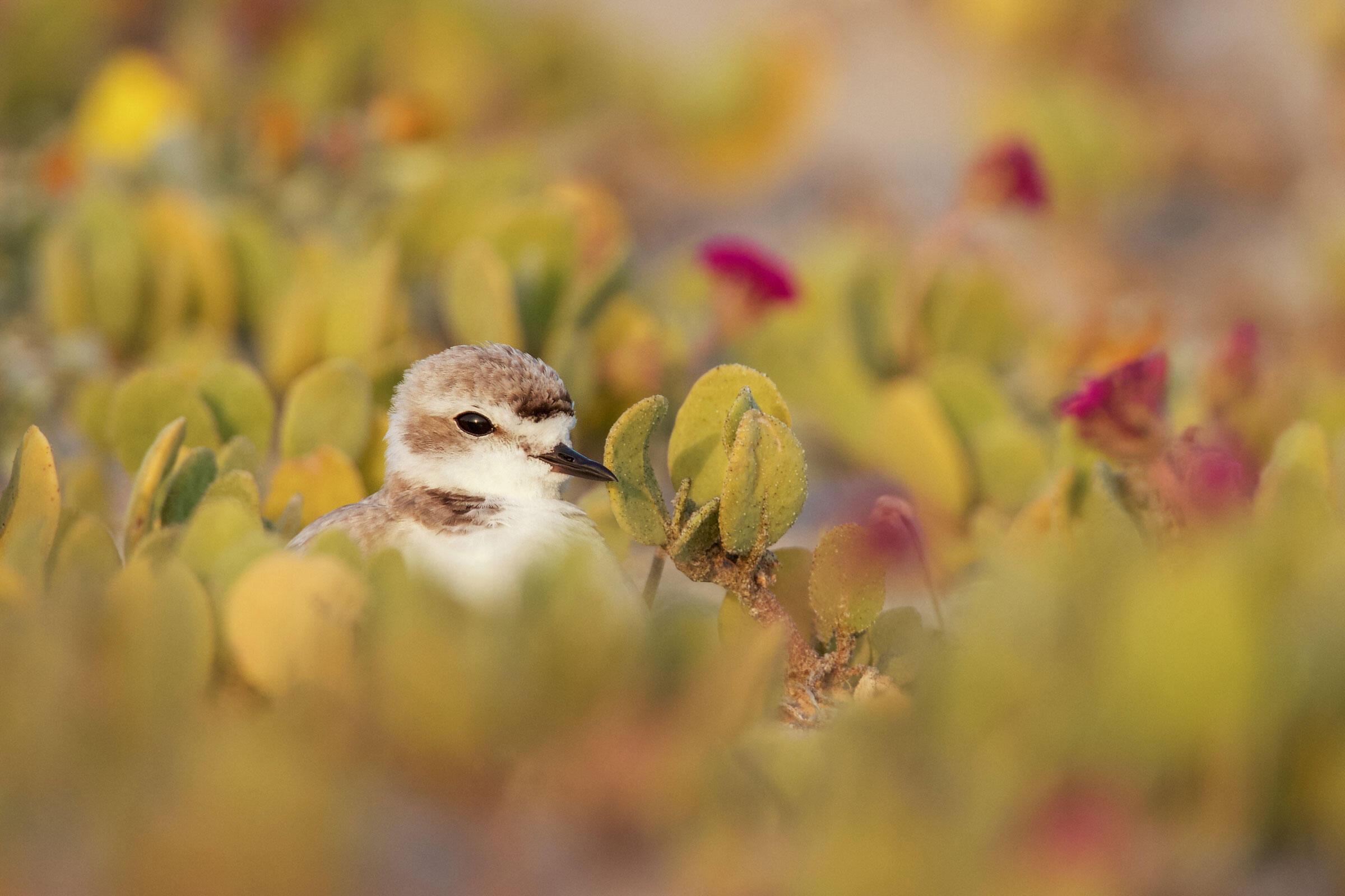 Snowy Plover/Amateur Category. Benjamin Clock/Audubon Photography Awards