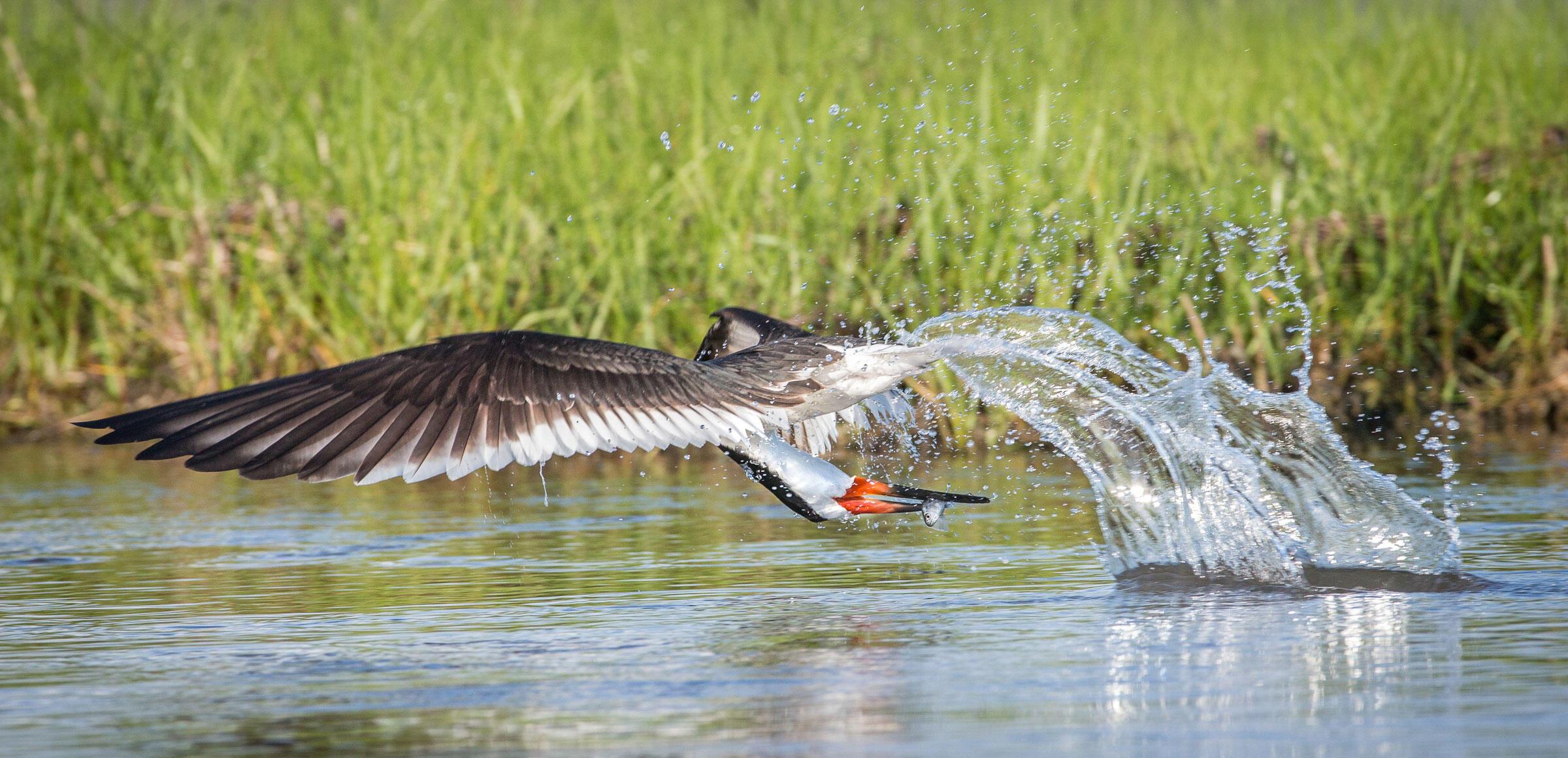 Black Skimmer/Professional Category. Mark Buckler/Audubon Photography Awards