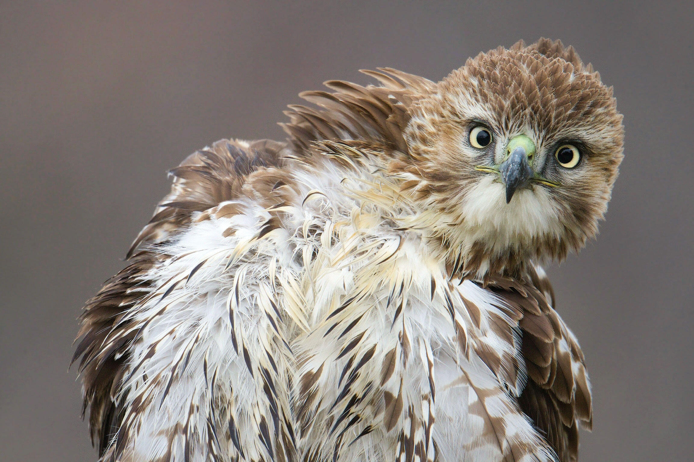 Red-tailed Hawk. Kimberley Caruso/Audubon Photography Awards