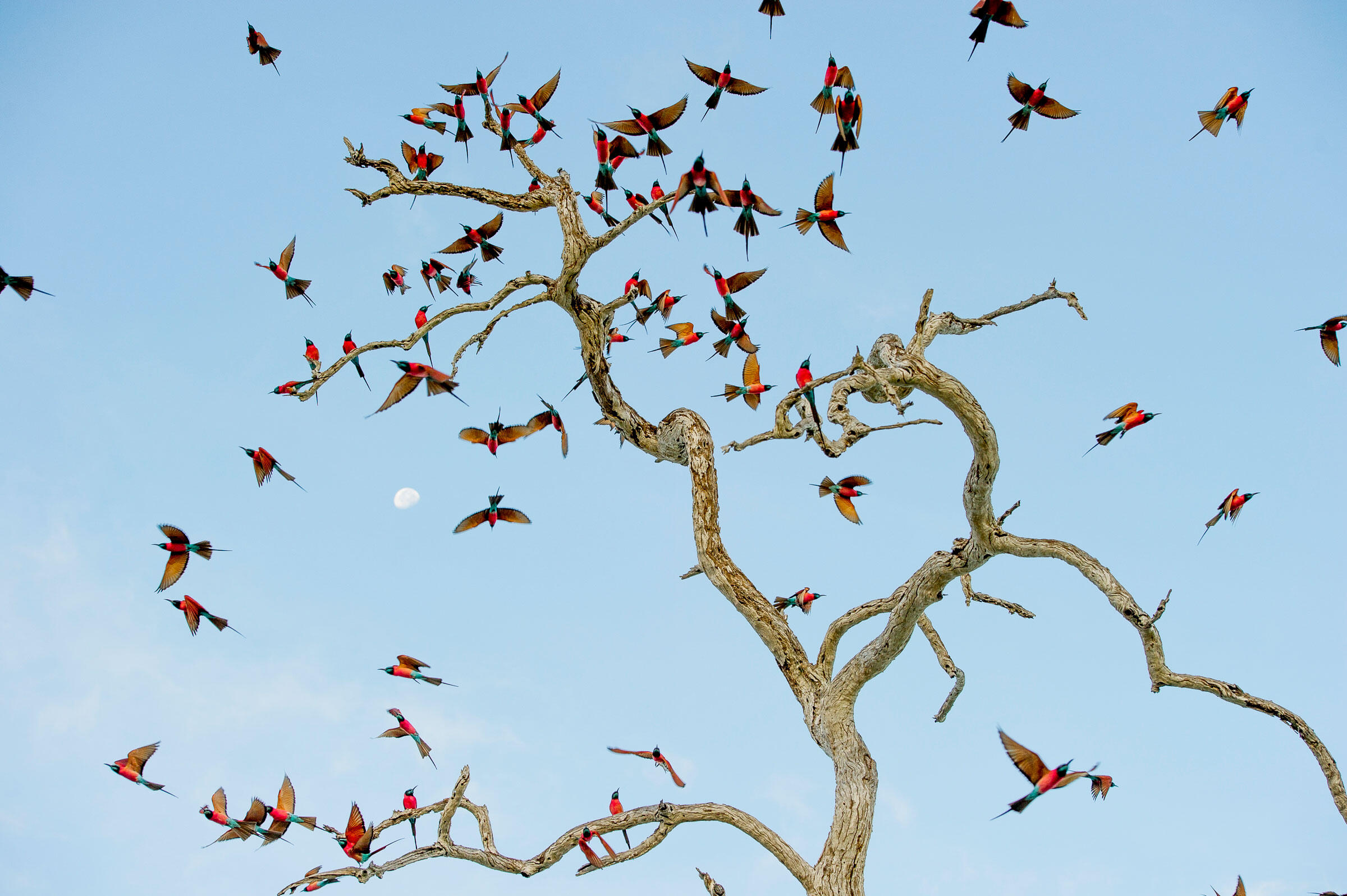 The Northern Carmine Bee-eater is a beautiful and gregarious seasonal visitor to the Sealous. They are often found early and late in the day roosting in great numbers on trees and bushes in and around lakes and river. Robert J. Ross