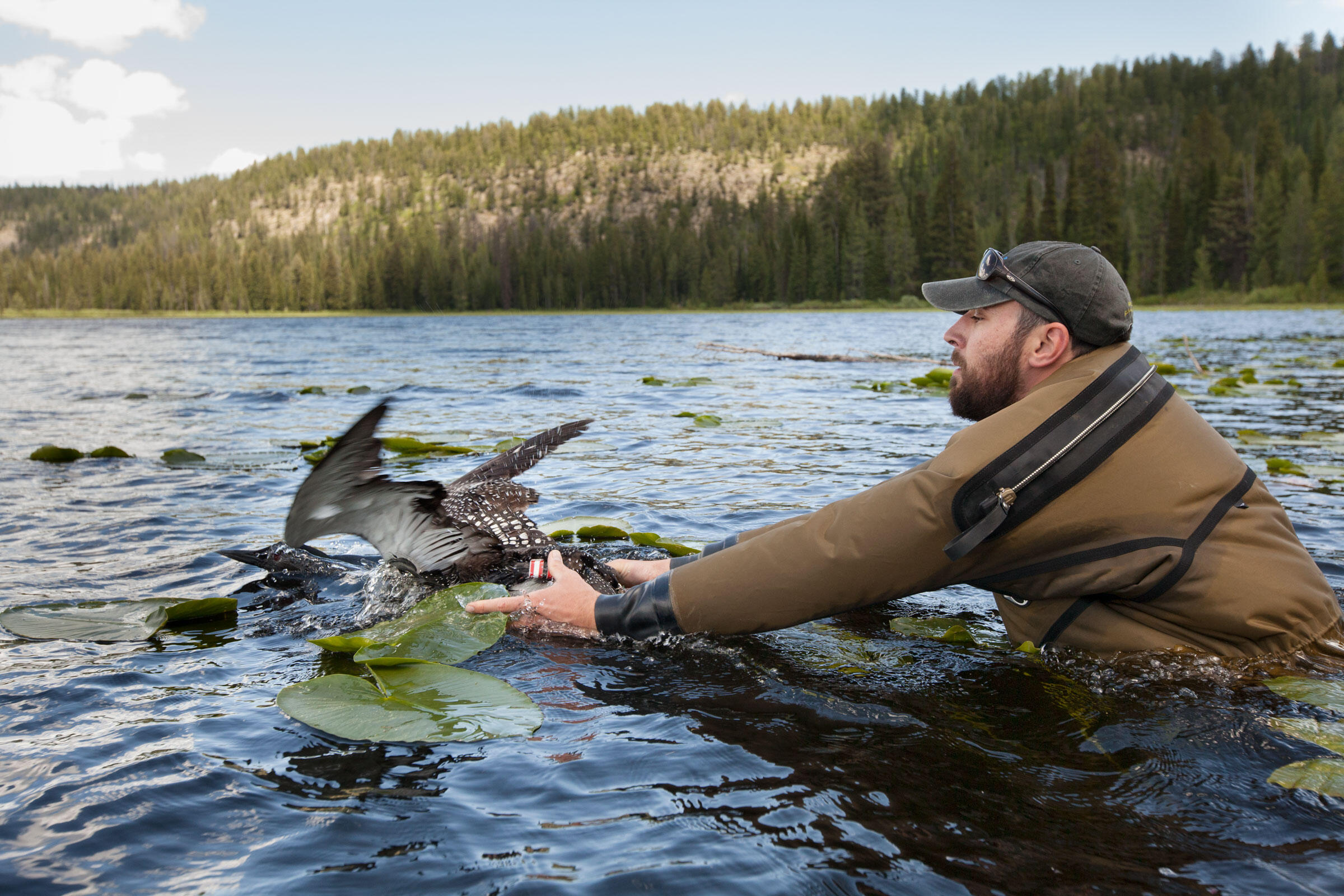 LoonRelease_JF15. Chris Persico releases a loon, which quickly swam back to its mate. Parents and their two chicks can consume about a half-ton of fish over a 15-week period. Photograph by Connor Stefanison