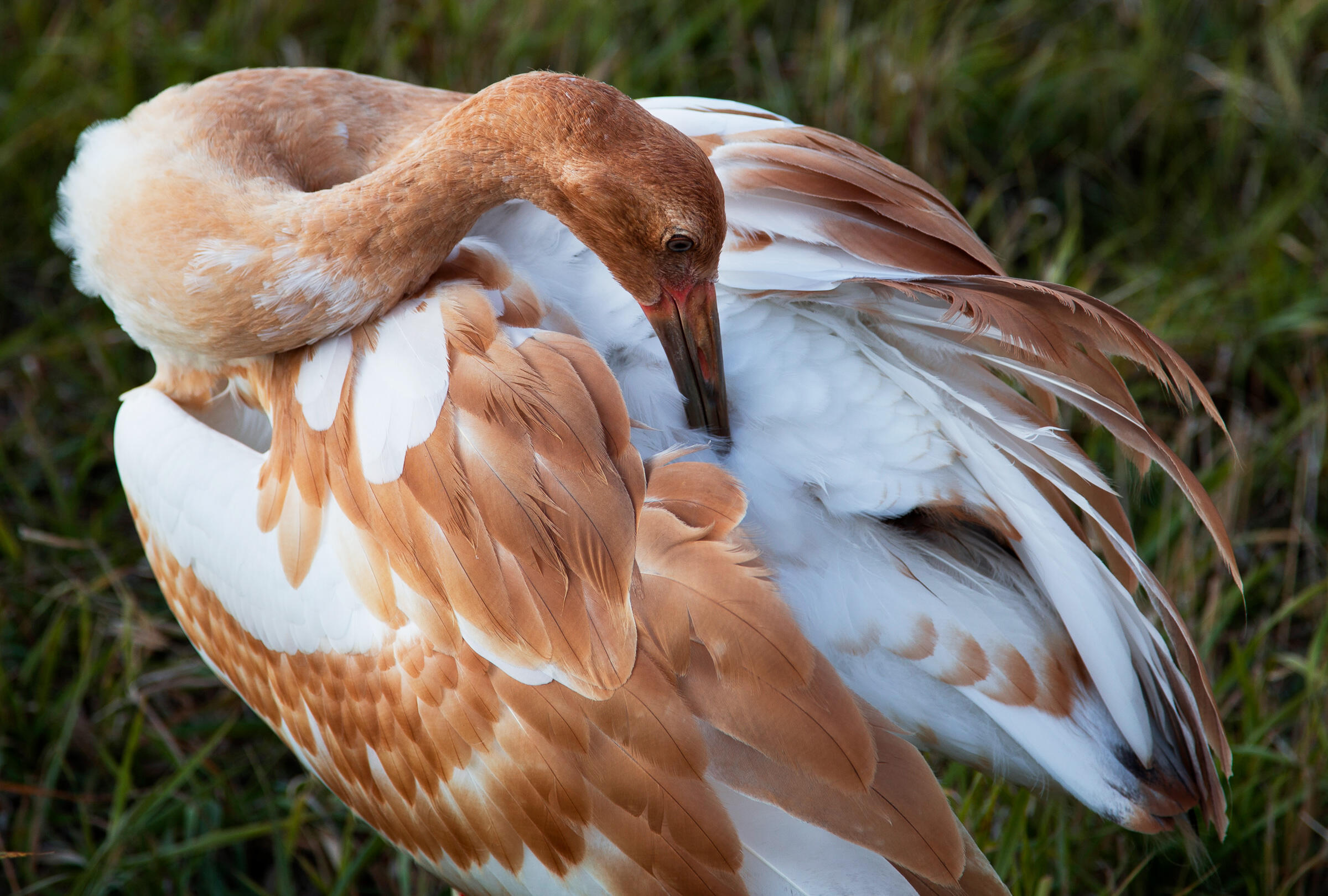 A Whooping Crane does a little grooming at the reintroduction site in Horicon Marsh, in Wisconsin. Tom Lynn