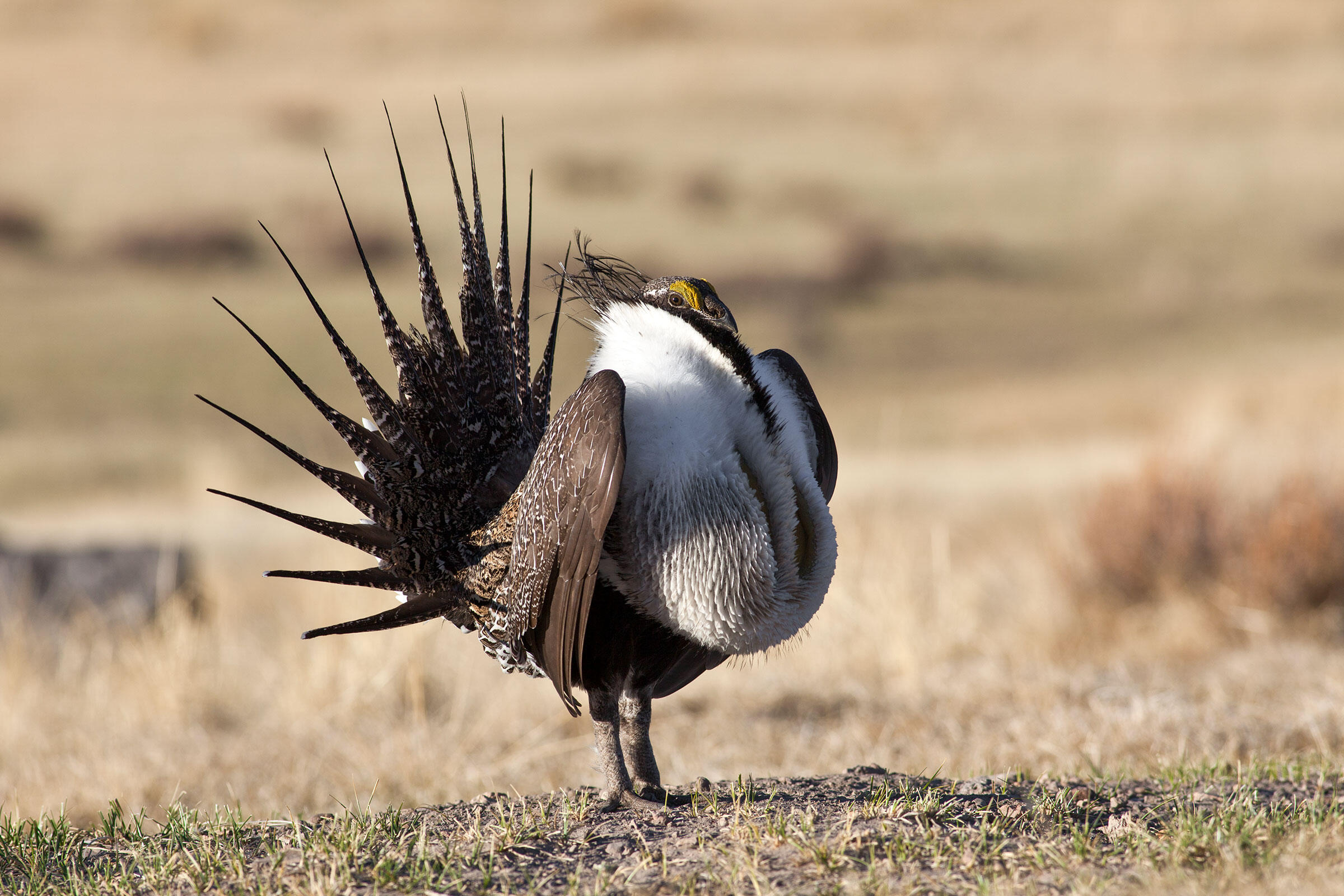 Greater Sage-Grouse. Bob Wick/BLM