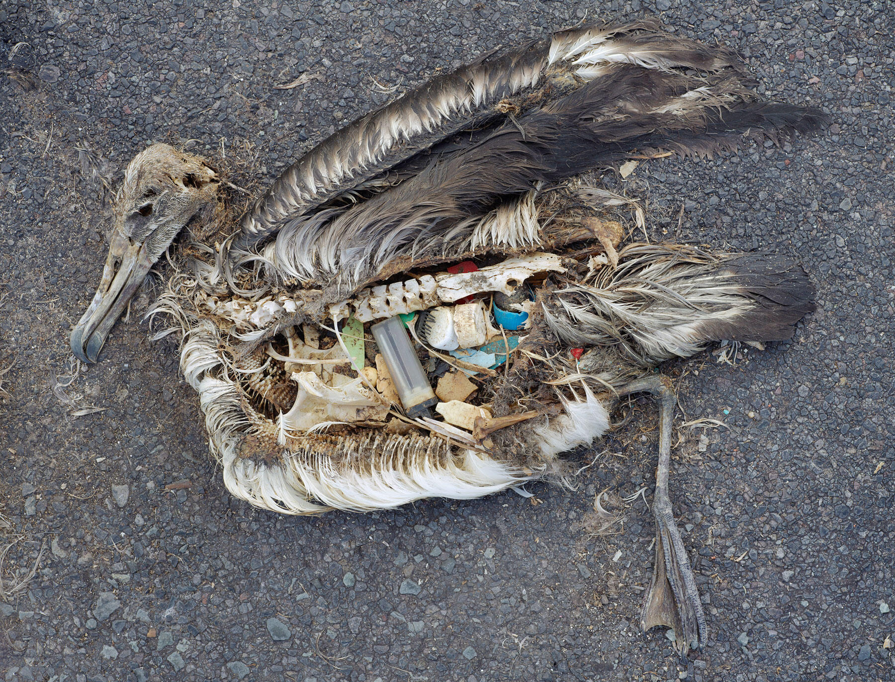 Laysan Albatross. Chris Jordan