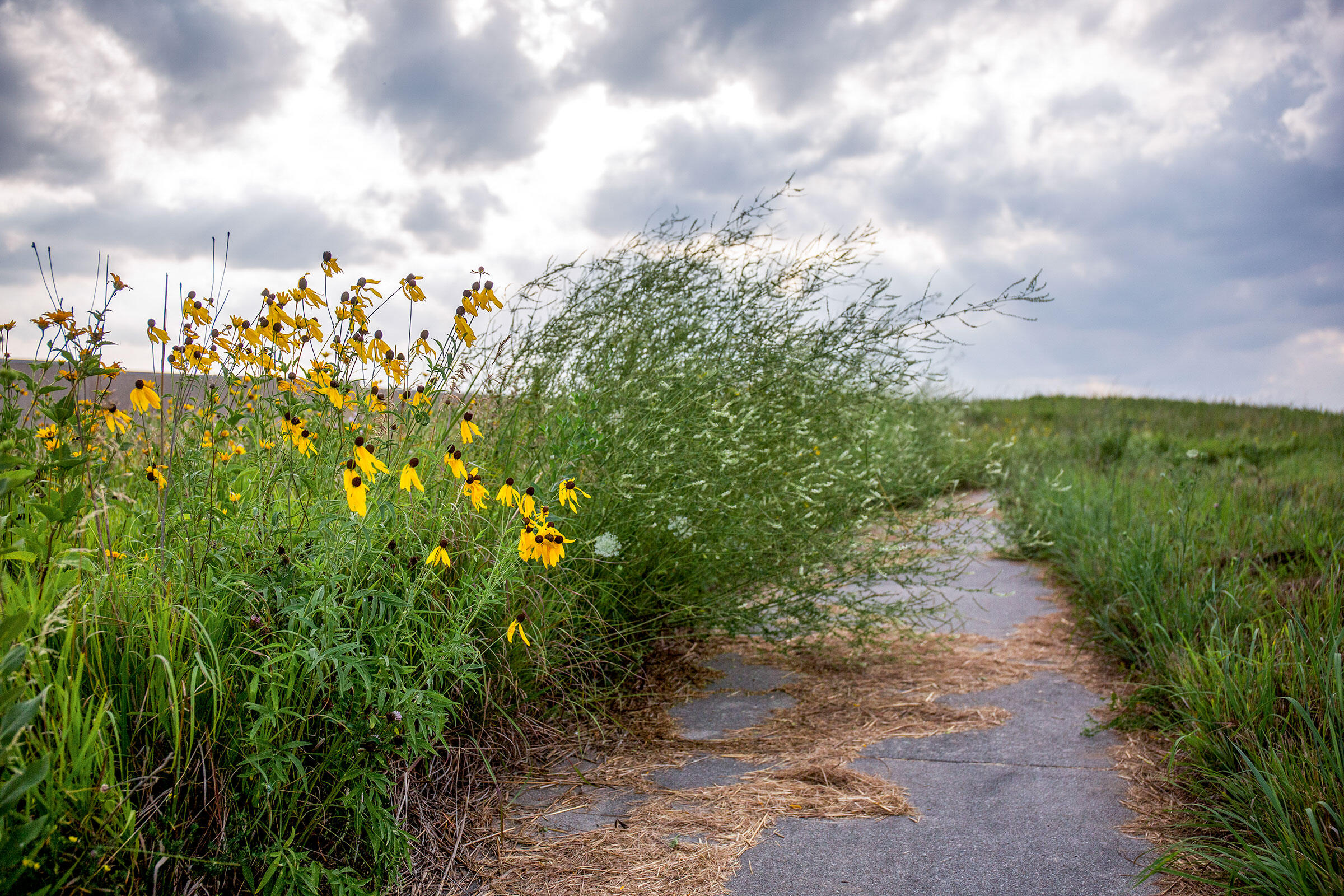 Invasive sweet clover looms over gray-headed coneflower, a species native to the Iowa prairie, at Neal Smith National Wildlife Refuge. Rachel Mummey