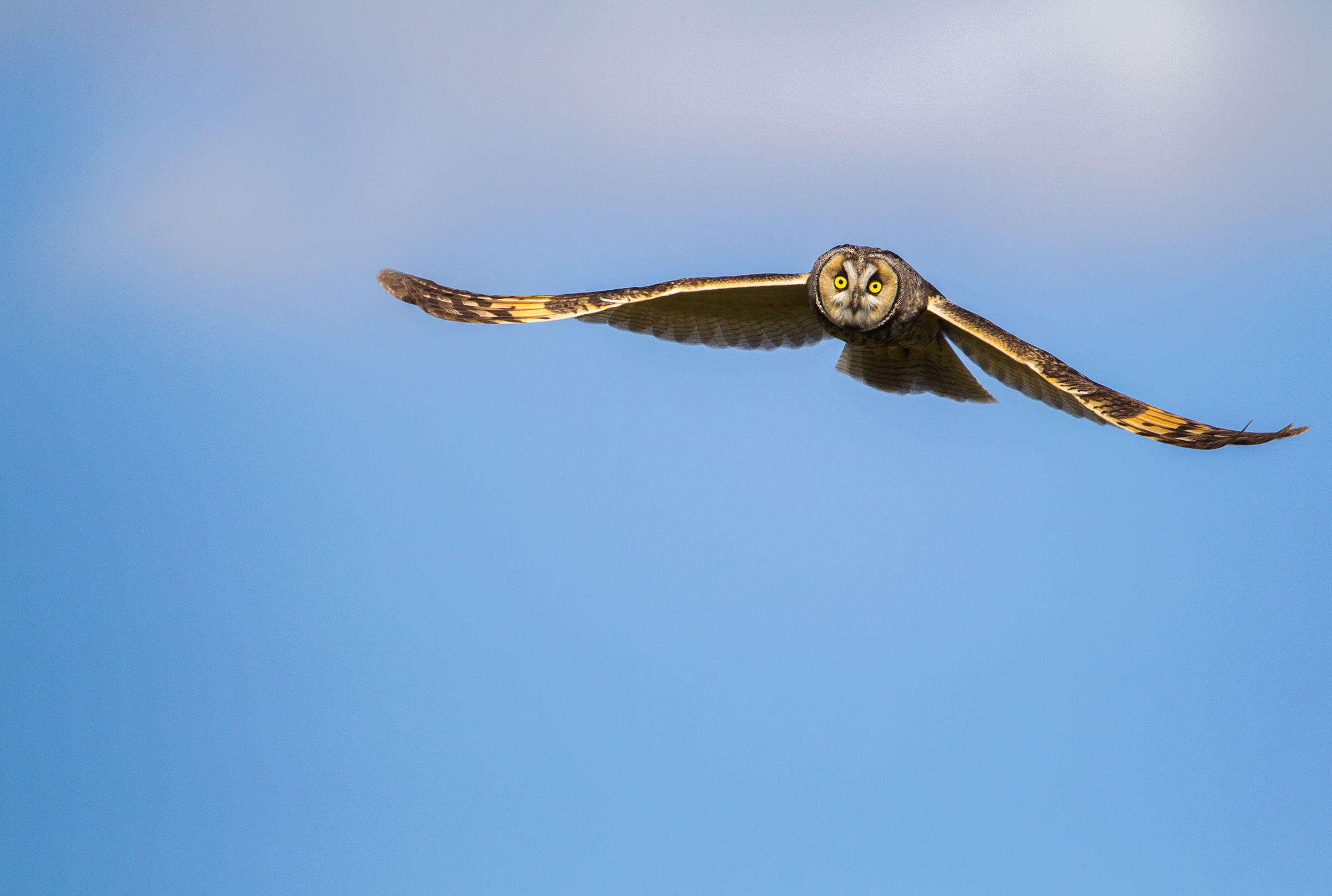 Long-eared Owl. Paul Bannick