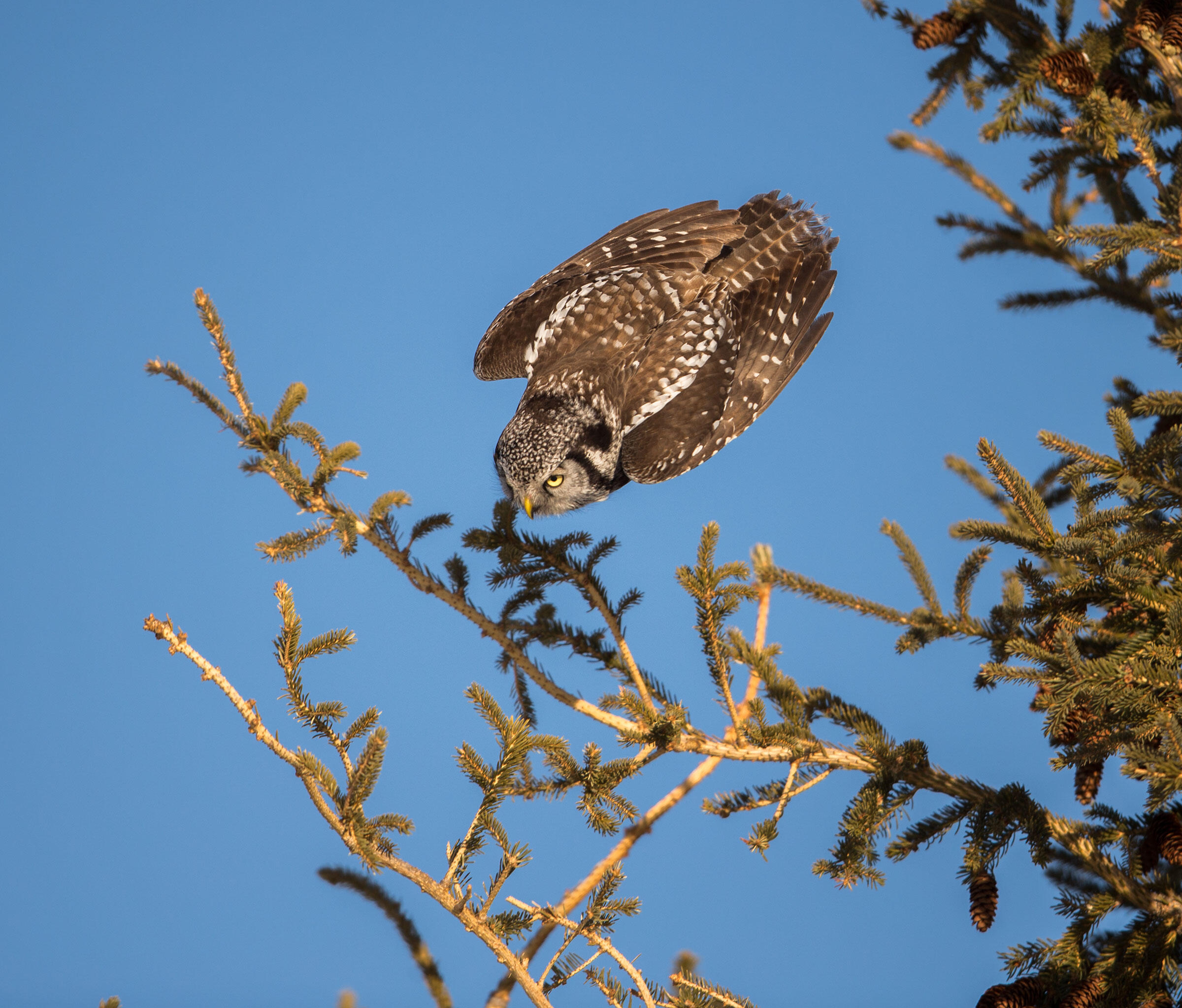 Northern Hawk Owl. Paul Bannick