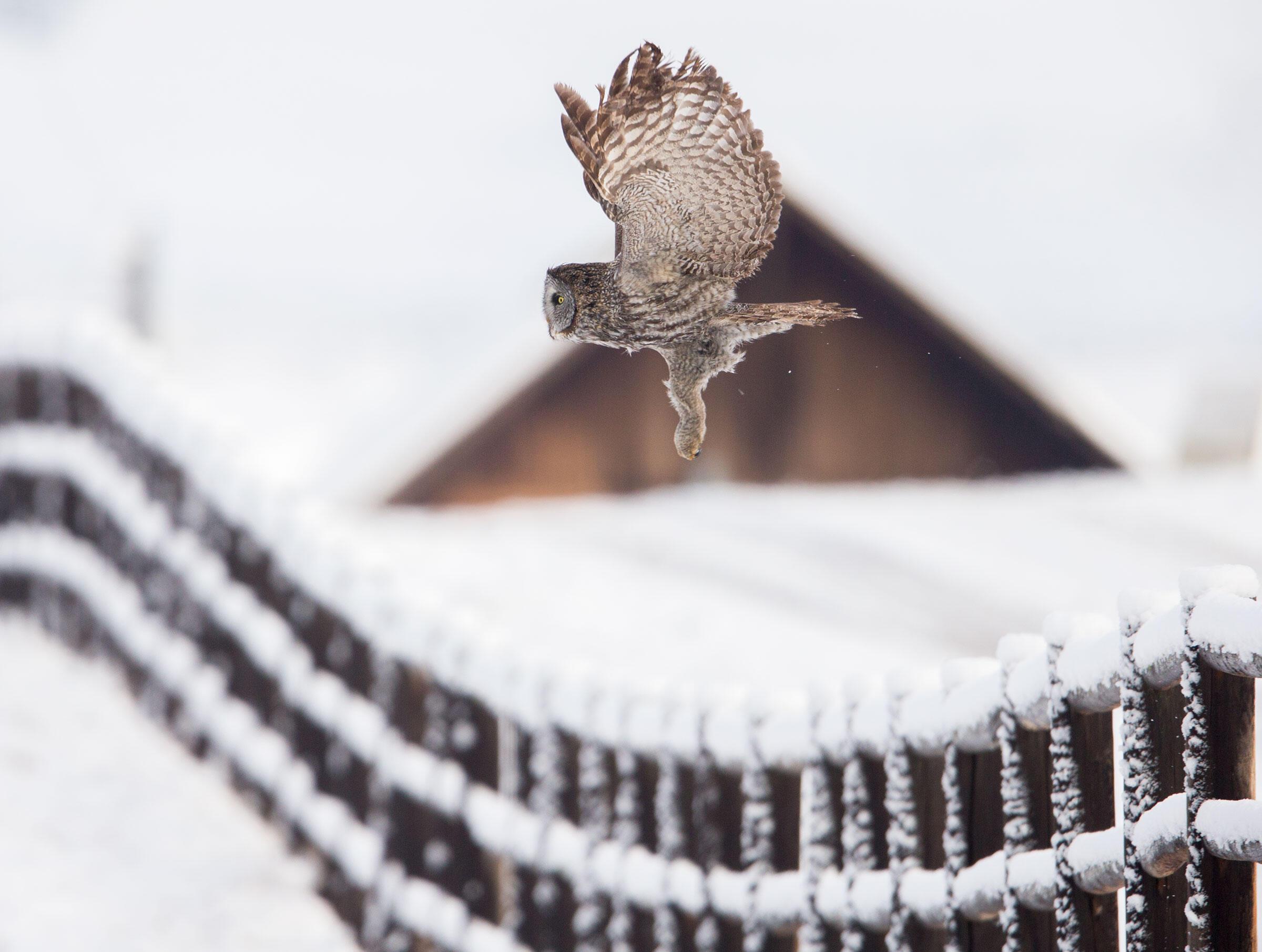 Great Gray Owl. Paul Bannick