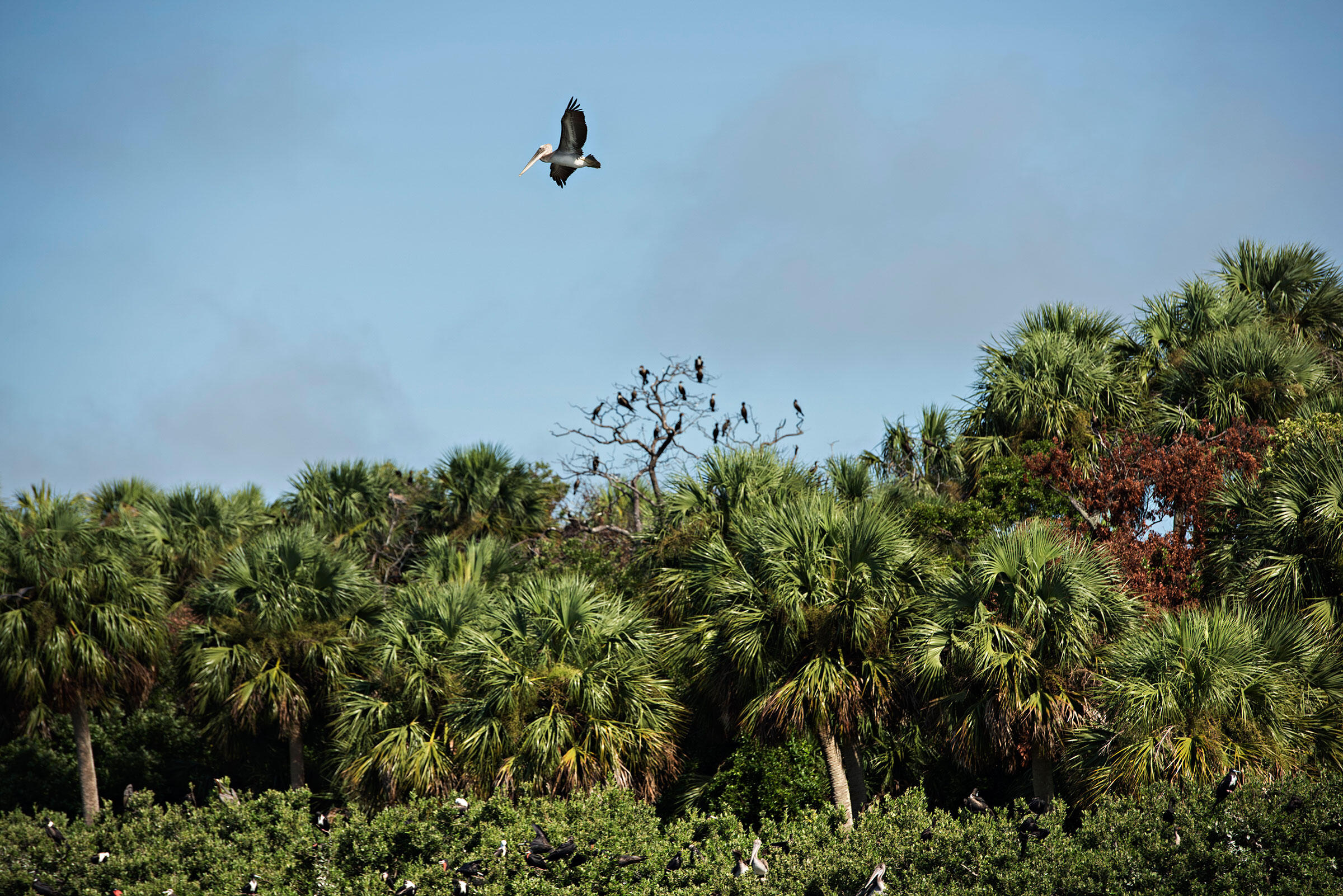 A young Brown Pelican flies over Snake Key, an island adjacent to Seahorse Key, with Double-crested Cormorants and Magnificent Frigatebirds perched in the background. Melissa Lyttle