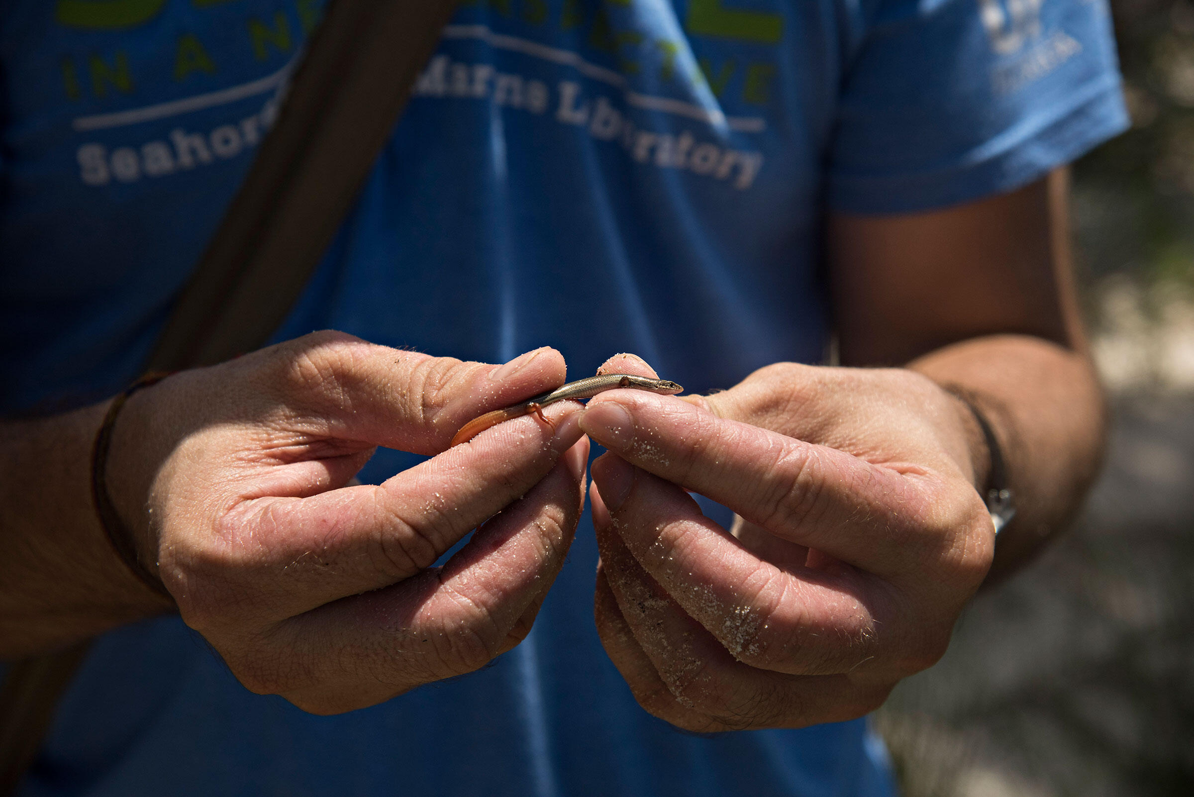 Herpetologist Coleman Sheehy III holds a Cedar Key mole skink, a rare species found on Seahorse Key that, like the island's once-robust cottonmouth population, may feel the cascading effects of the birds' absence. Melissa Lyttle