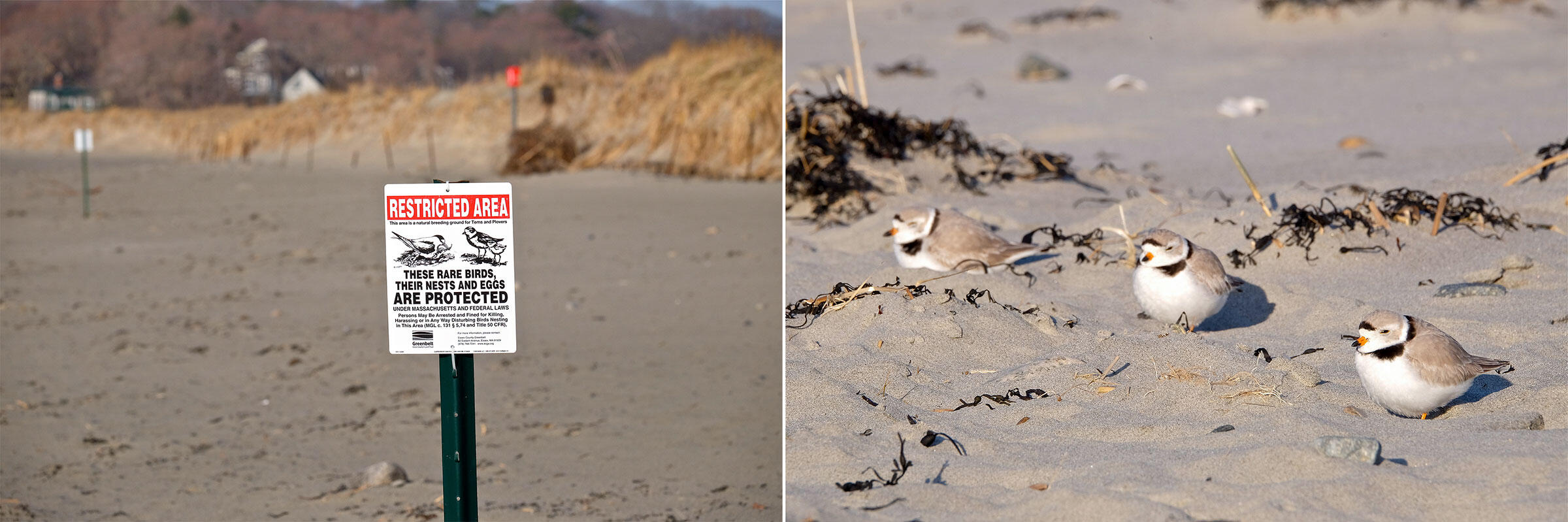 From left: A sign alerts beachgoers to the presence of Piping Plovers; adults on the sand before they nested in the parking lot. Photos: Kim Smith