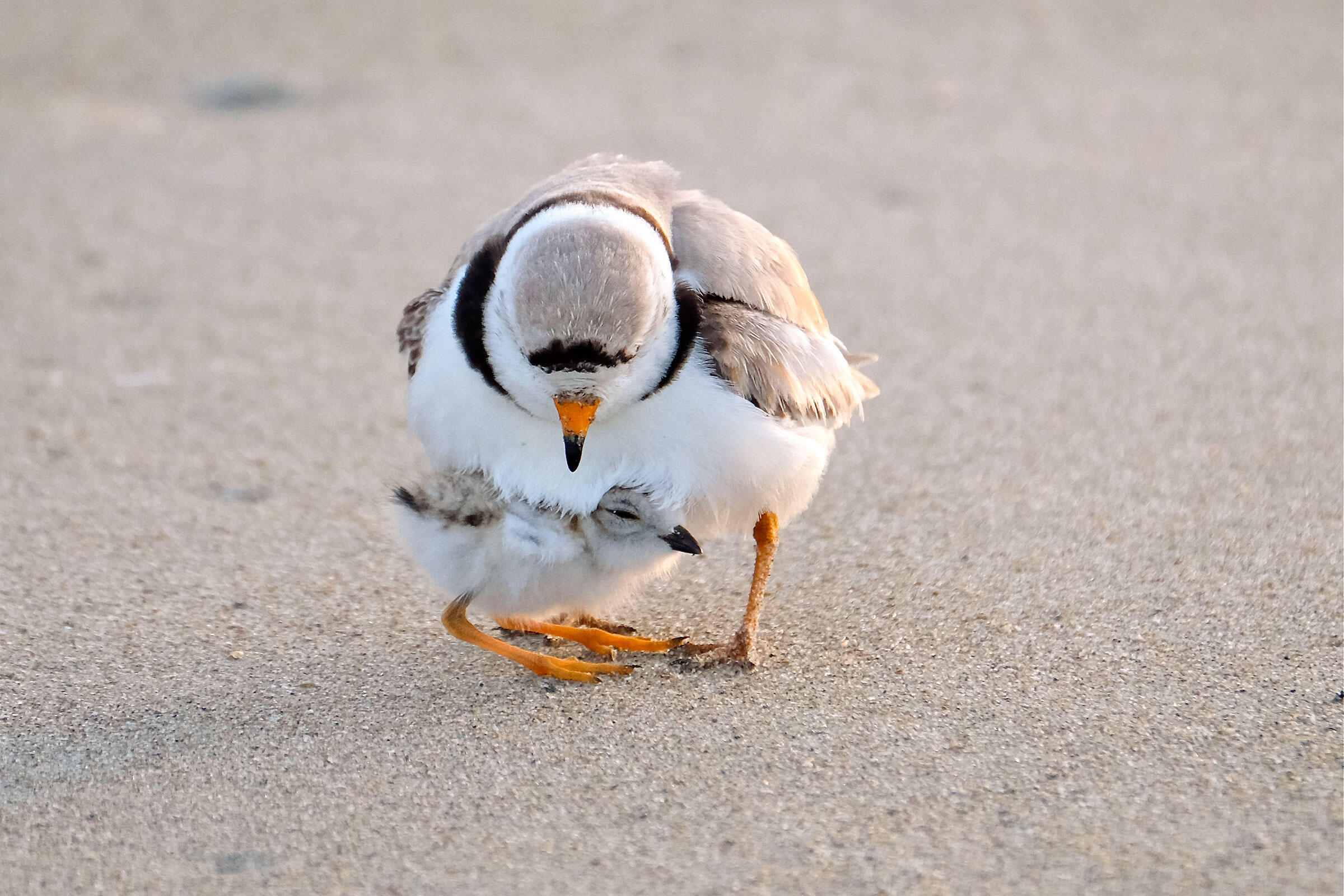 The father looks after an eight-day-old chick. Kim Smith