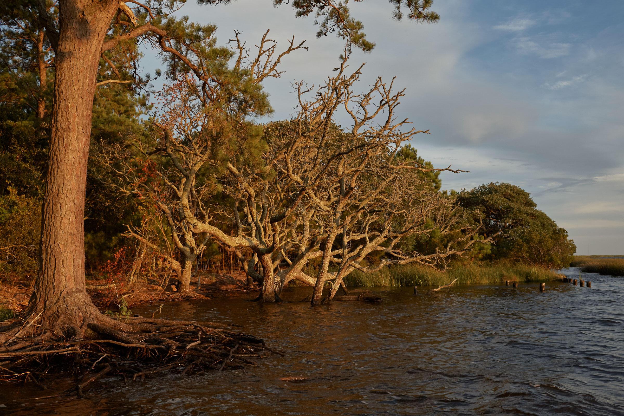 Robles siempre verdes muertos por el crecimiento del nivel del mar y la erosión en Pine Island.