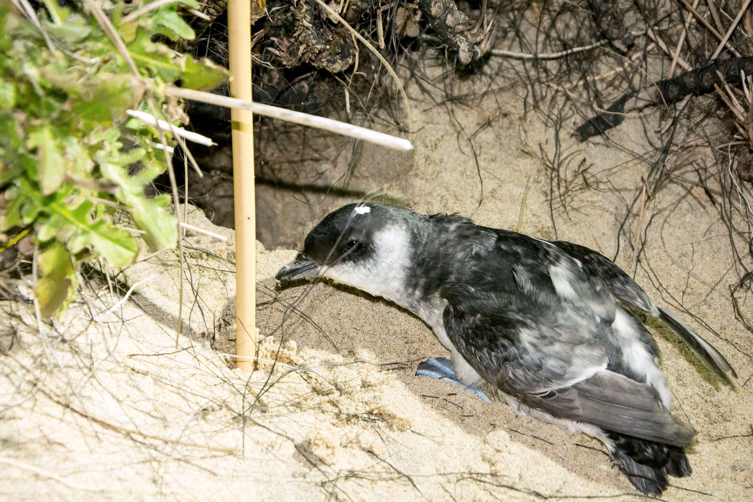 A Whenua Hou Diving-Petrel takes a final look at the great outdoors before retreating into its burrow. Jake Osborne