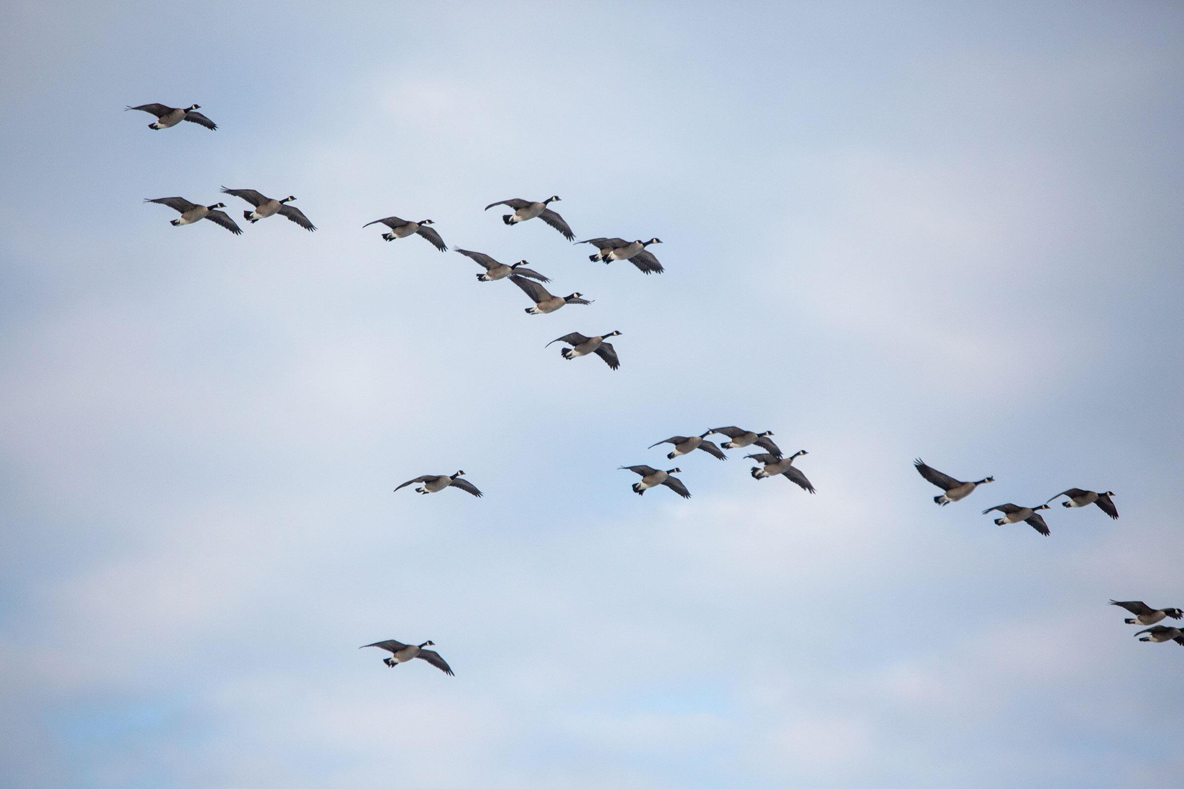 Canada Geese fly over Eeyou Istchee. Brendan Forward