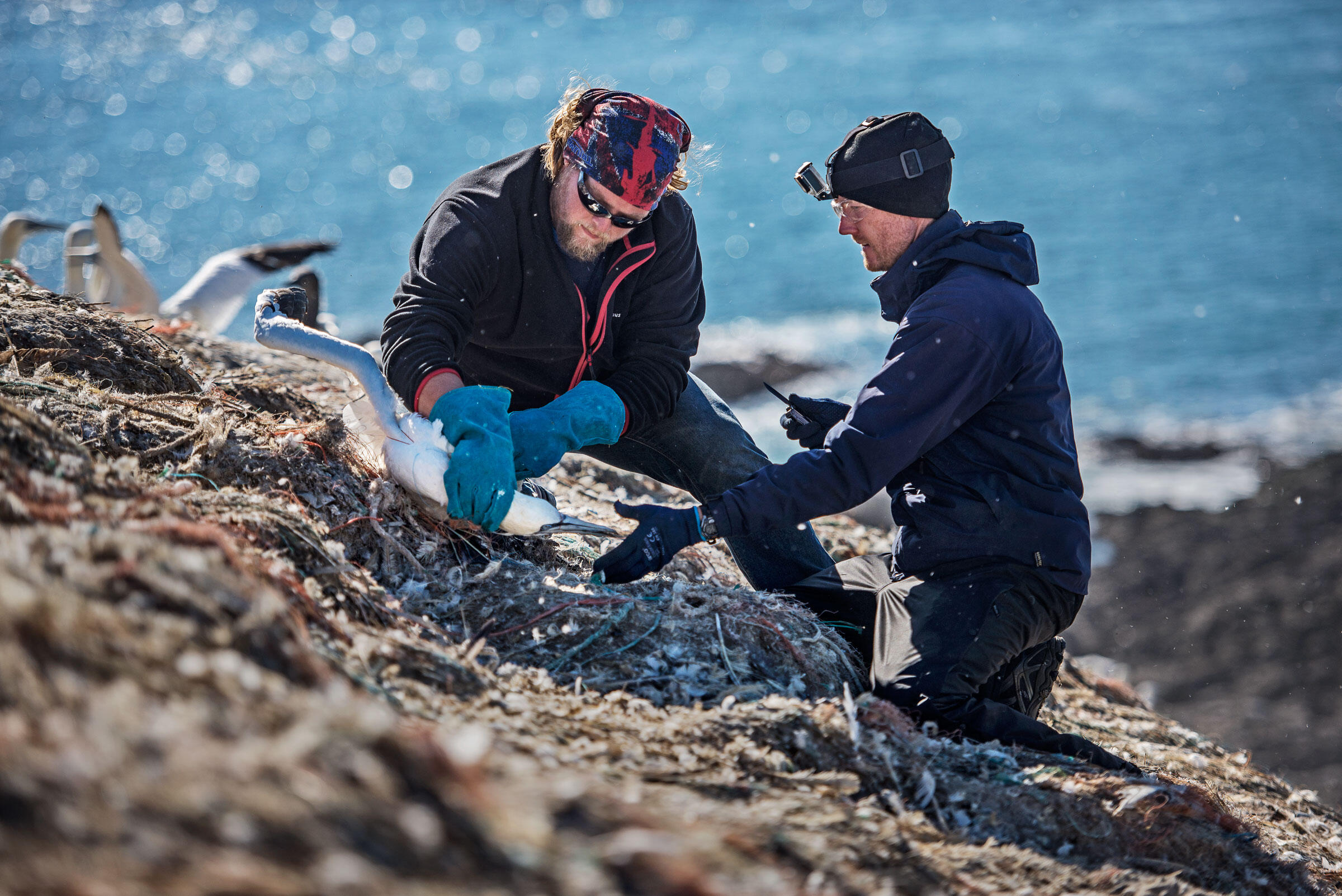 Volunteer Morgan Wicks (left), a skipper with Thousand Island Expeditions who ferries tourists around Grassholm, holds a bird while RSPB warden Greg Morgan frees it. Sam Hobson