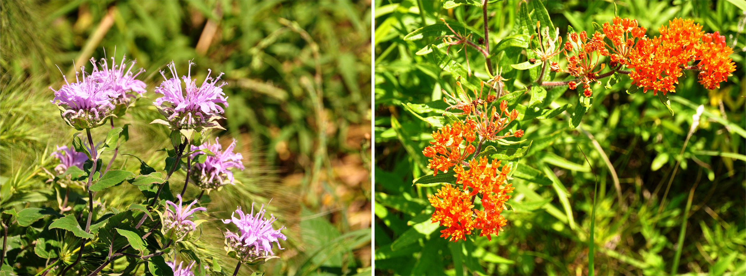Wild bergamot, or beebalm (left), and butterfly milkweed (right) growing in prairie strips in Iowa. Lynn Betts/Conservation Districts of Iowa