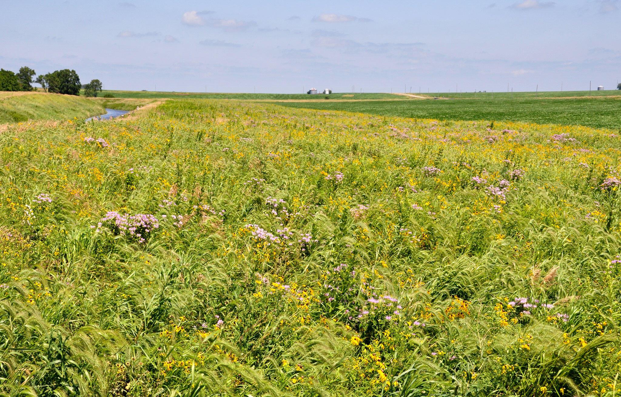 Prairie Strips on Tim Smith's farm. Lynn Betts/Conservation Districts of Iowa