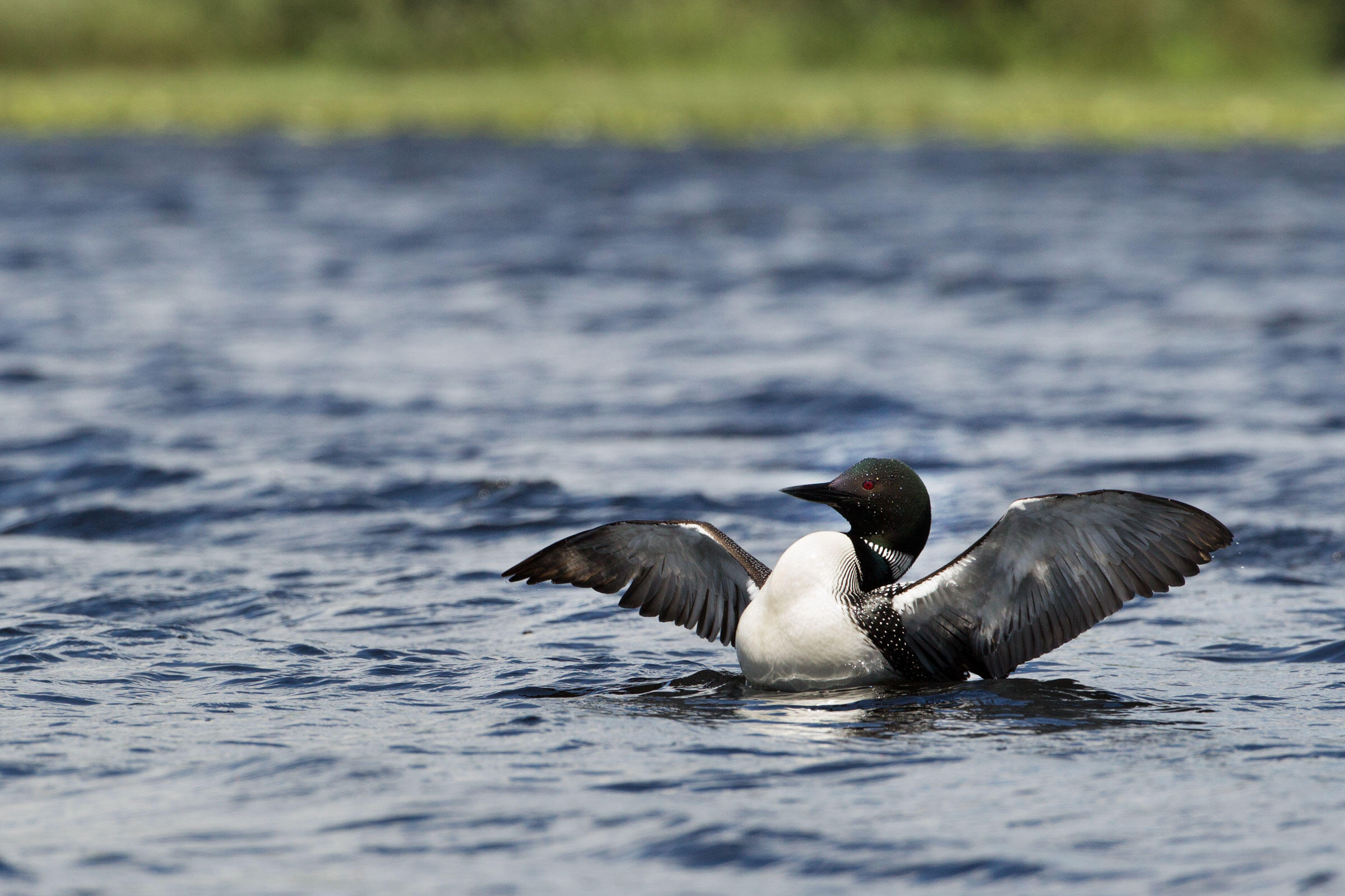 Loons4_JF15. A freed loon returns to the water. Loons come on shore only to nest. They can dive 180 feet and hold their breath for three minutes or more when chasing fish. Photograph by Connor Stefanison