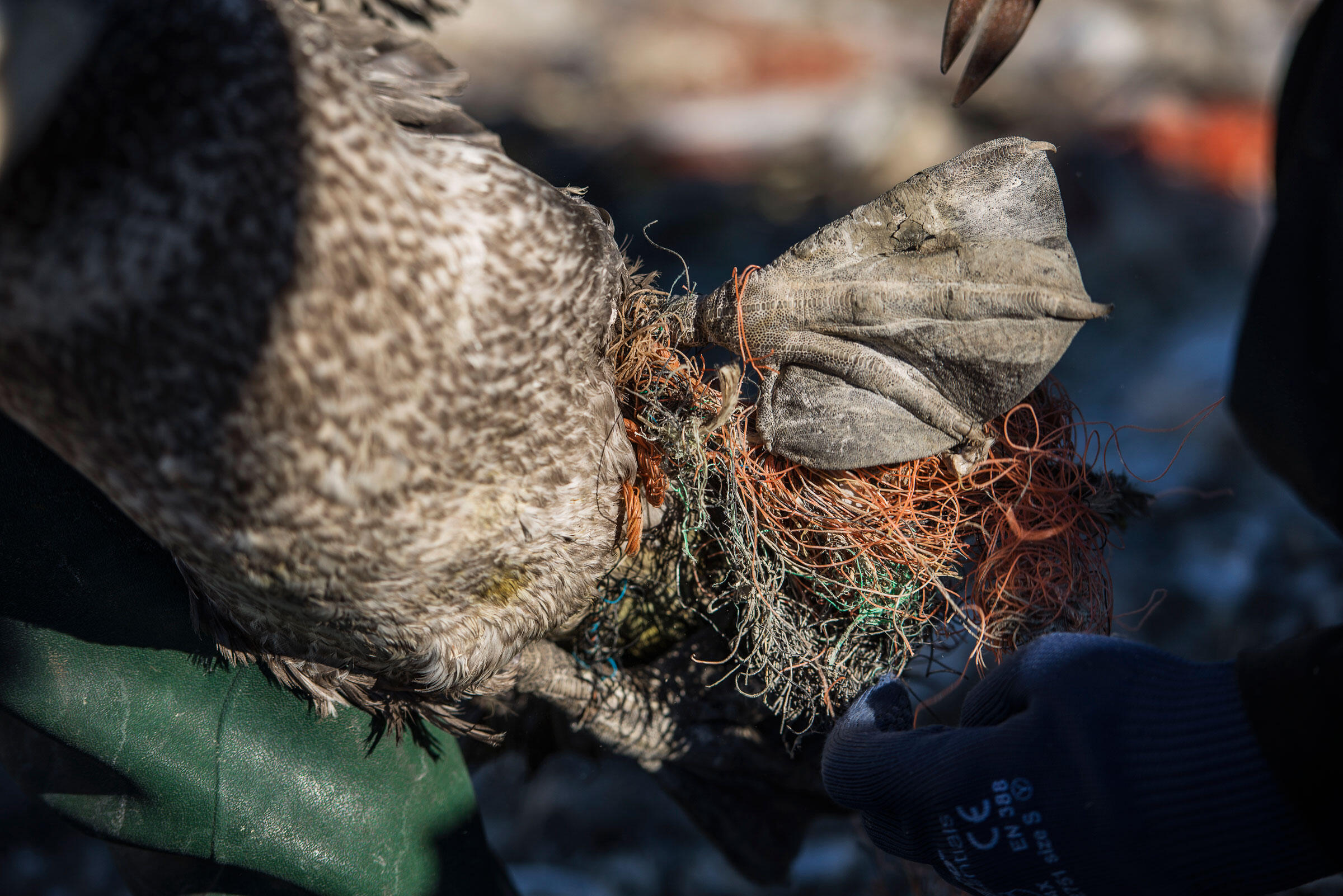 The foot of a young gannet has become entangled in a mass of plastic fibers; in extreme instances, the trash can cause foot or wing deformities, and even sever the limbs. Sam Hobson