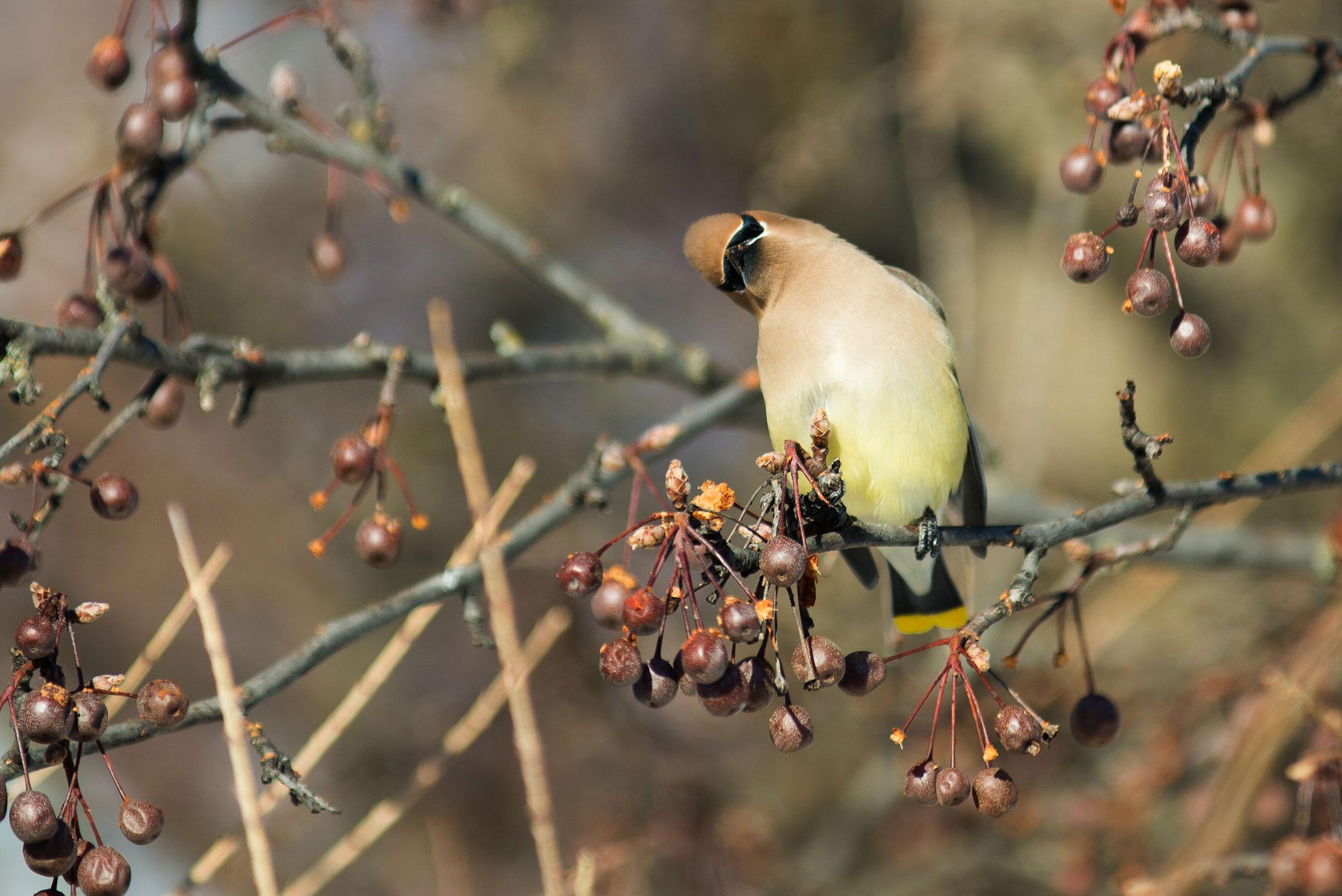 Cedar Waxwing. Joanie Christian/Audubon Photography Awards