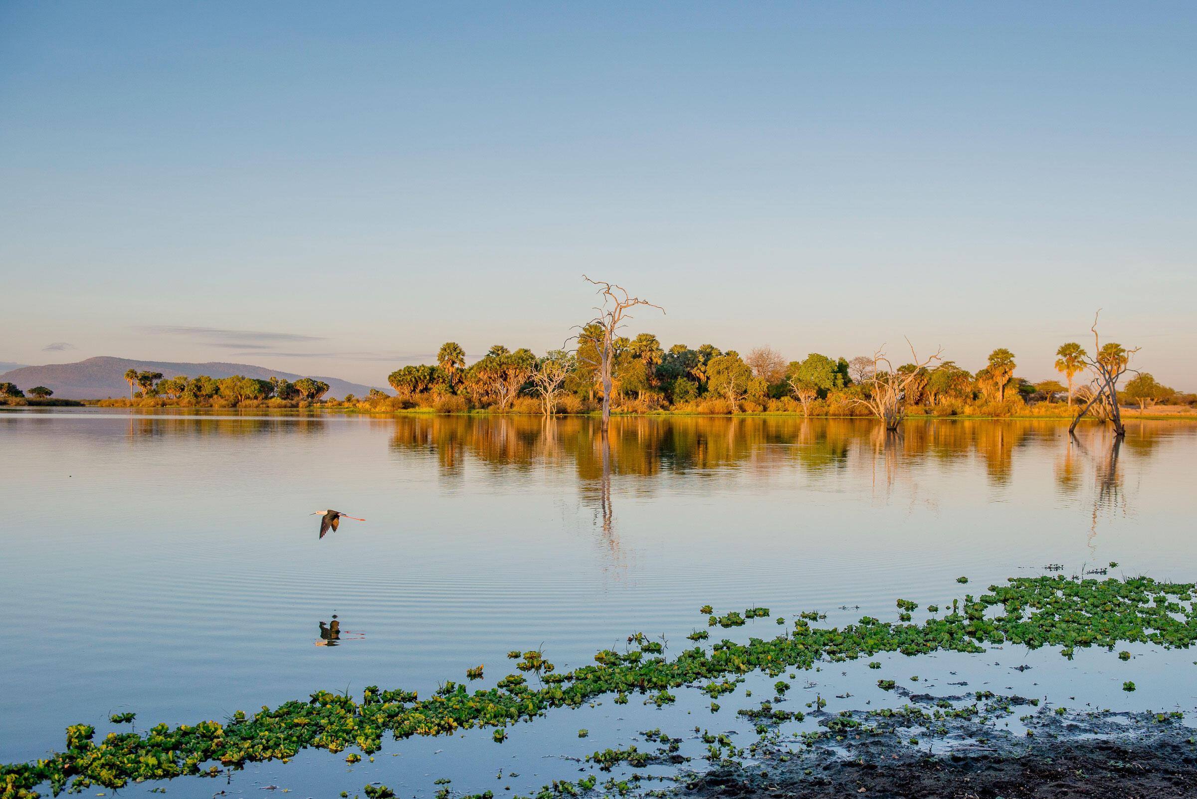 A Black-winged Stilt flies gracefully over a still Lake Siwandu as dusk approaches. Robert J. Ross