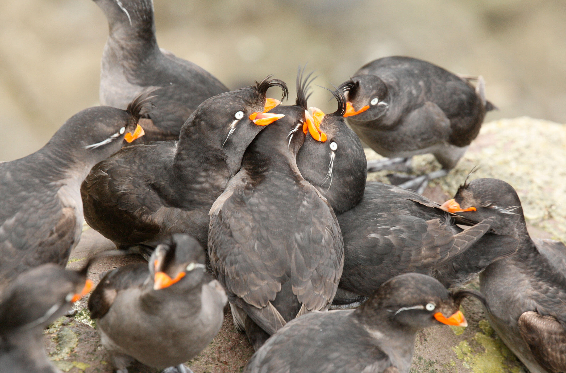 A typical Crested Auklet 'scrum' involving a central courting pair and surrounding excited participants and onlookers. Ian L. Jones