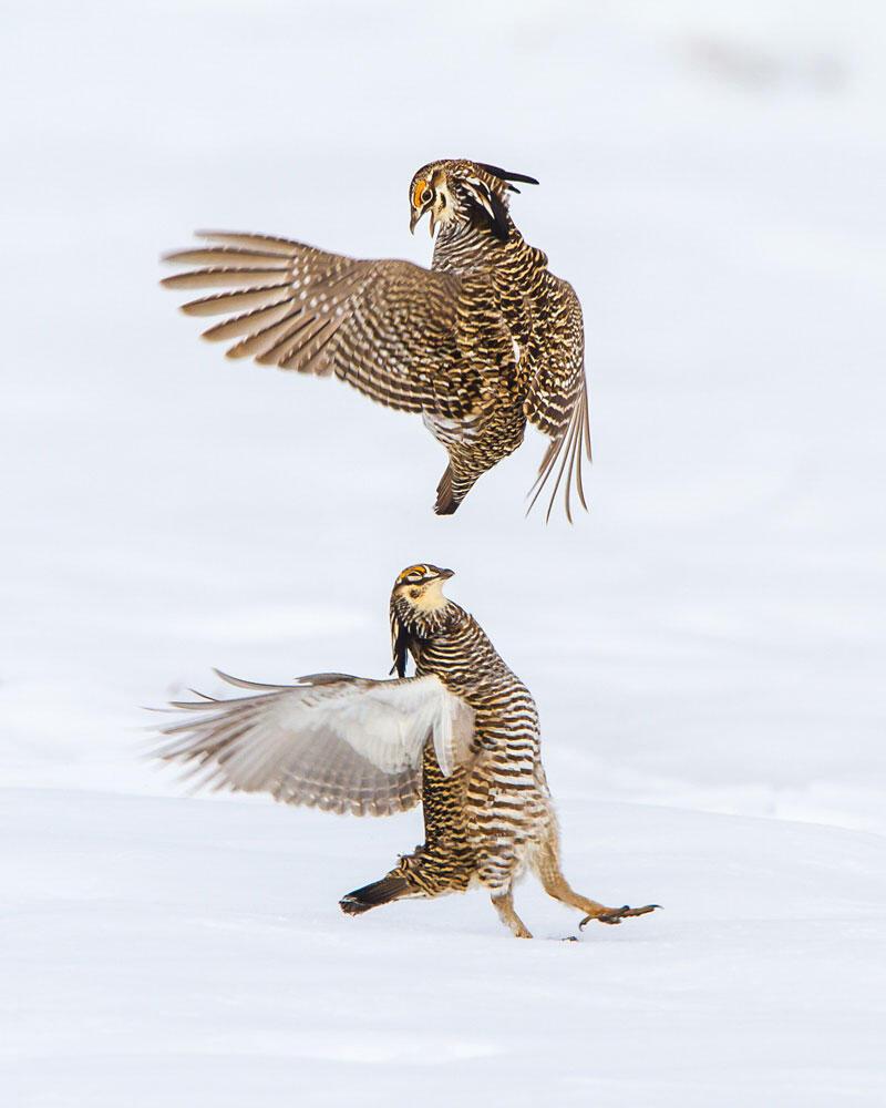 Greater Prairie-Chickens. Fi Rust/Audubon Photography Awards