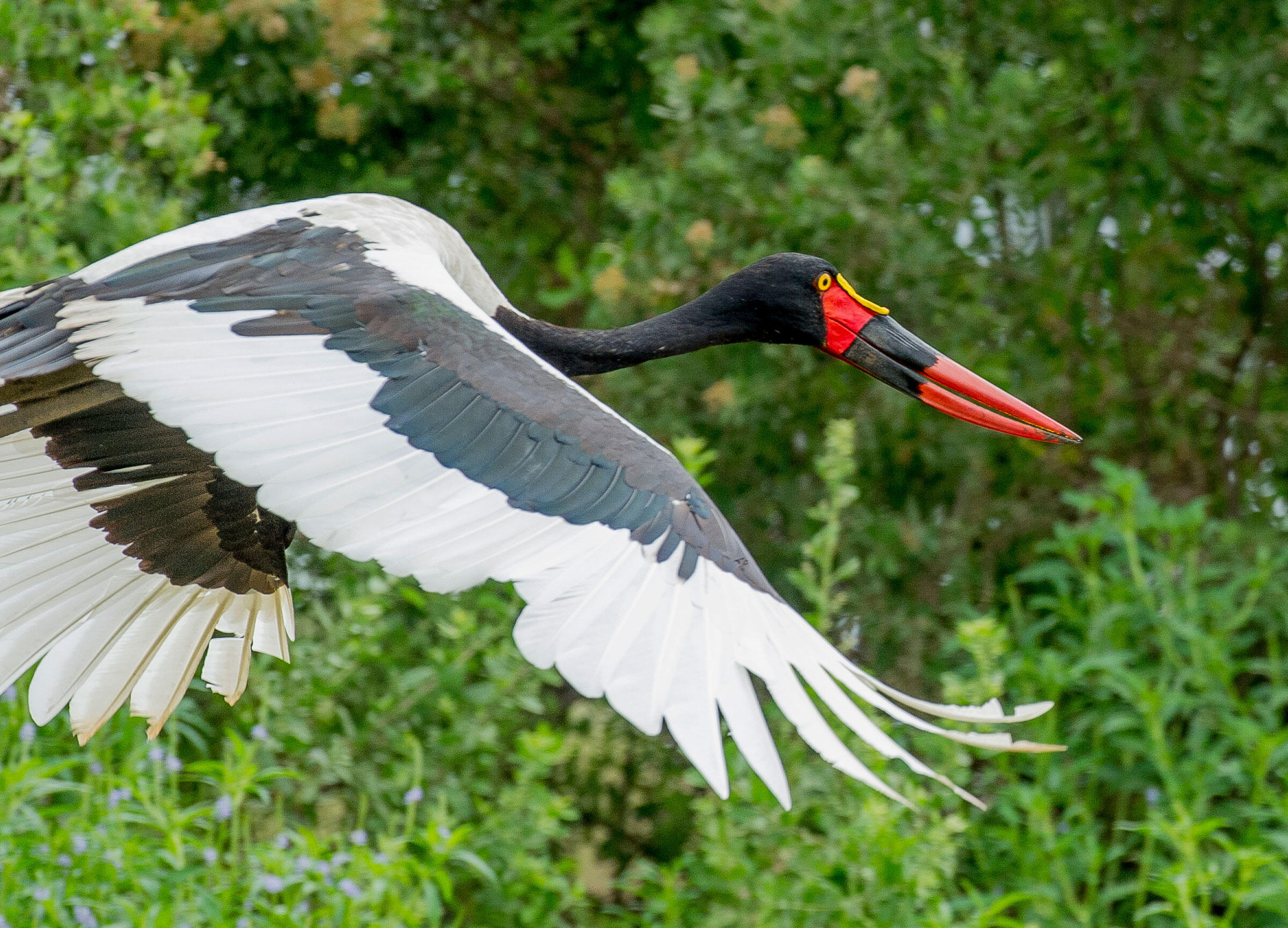 The Saddle-billed Stork is an impressive sight in flight. With a wingspan of up to three meters, the Saddle-billed is also the tallest of the storks. Robert J. Ross