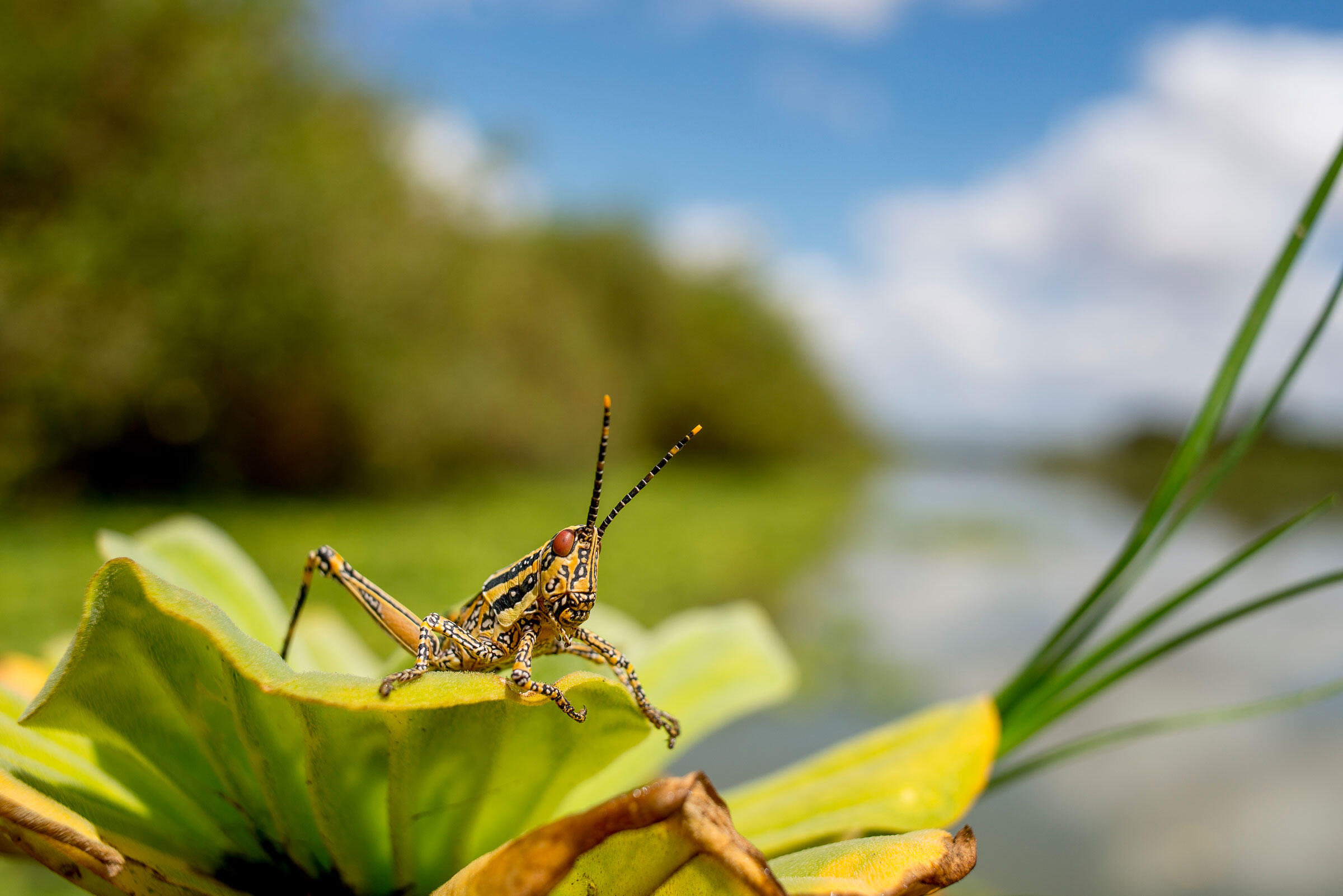 The aptly named elegant grasshopper appears by the thousands along the edges of the rivers and lakes in the northern Selous for a short season and then quickly disappears. Robert J. Ross