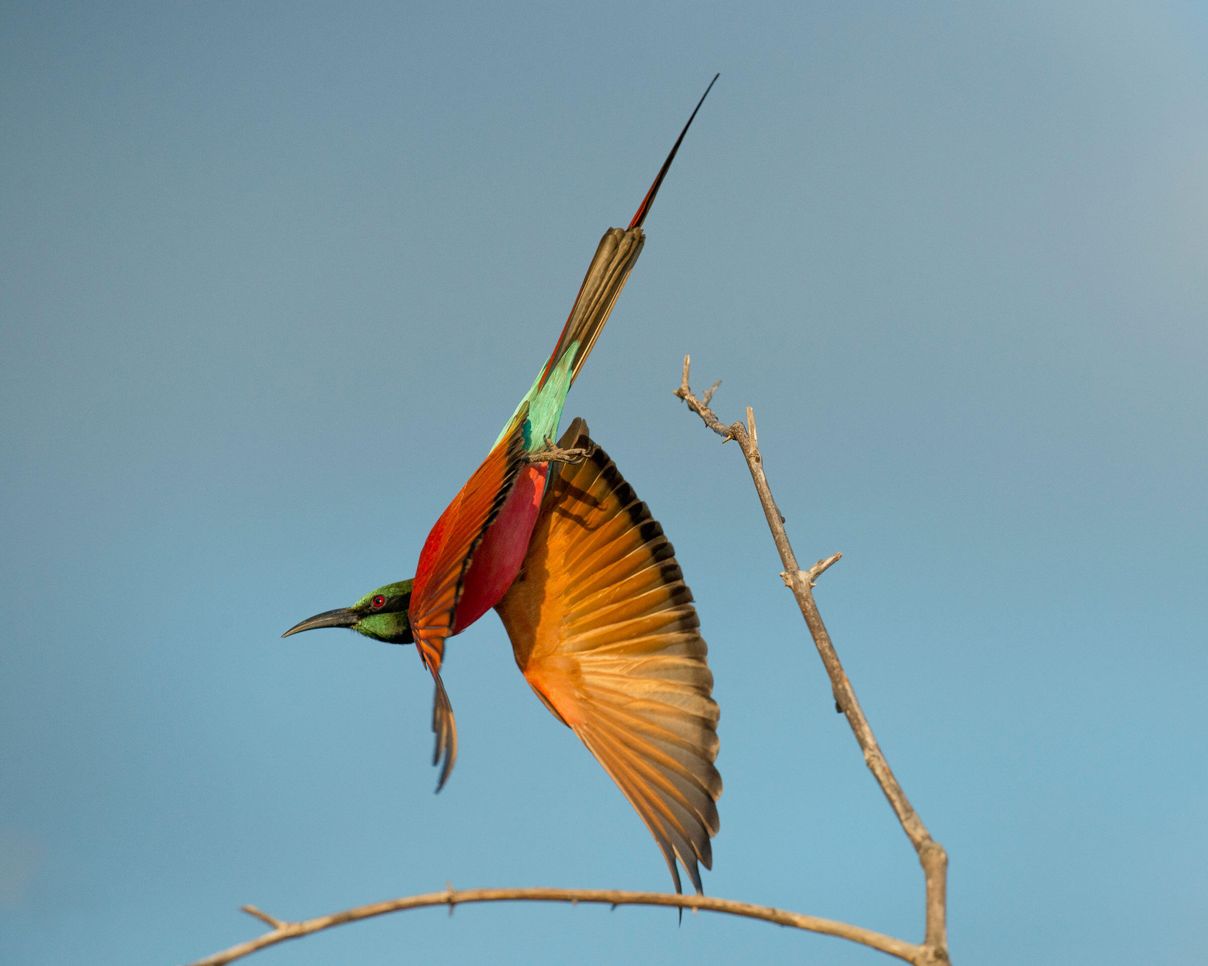 The Northern Carmine Bee-eater is a strong and graceful flier. Robert J. Ross