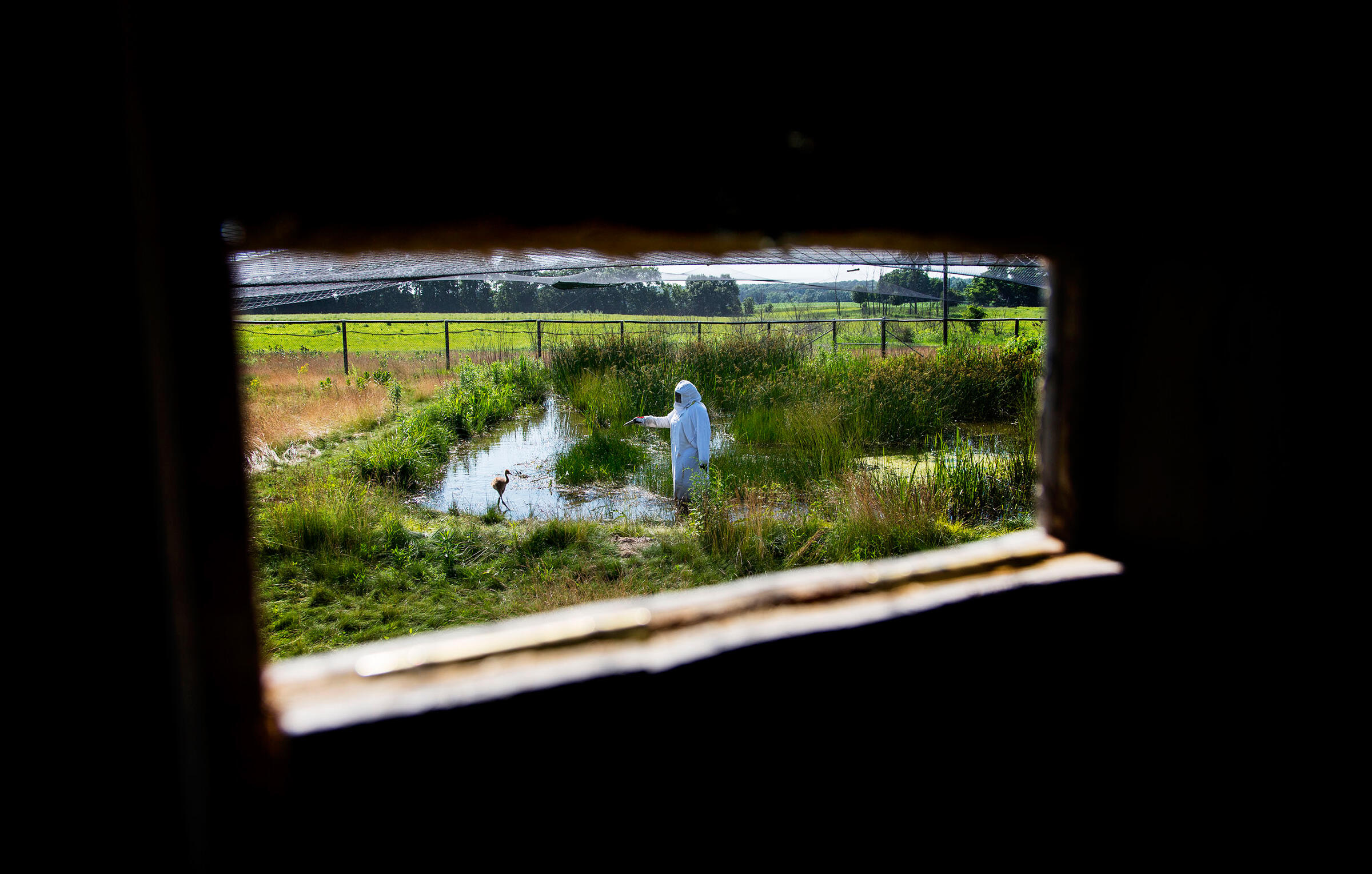The view from a blind at the ICF, where a young Whooping Crane is wading through a marsh under the watchful eye of an aviculturist. Tom Lynn