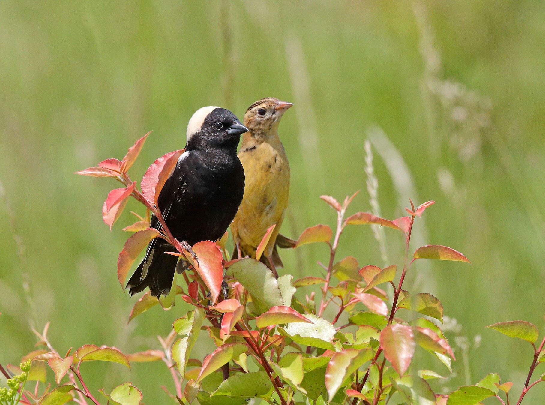 Bobolinks. Ruhikanta Meetei/Audubon Photography Awards