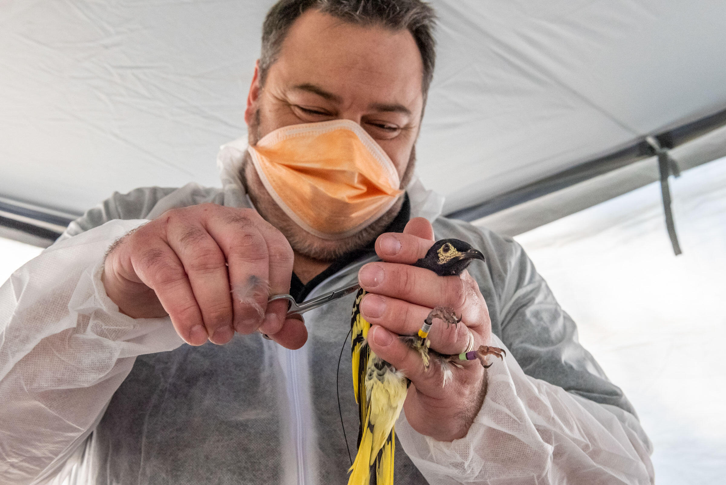 Dean Ingwersen attaches a radio transmitter to a captive-bred Regent Honeyeater in a processing tent at the release site. Doug Gimesy
