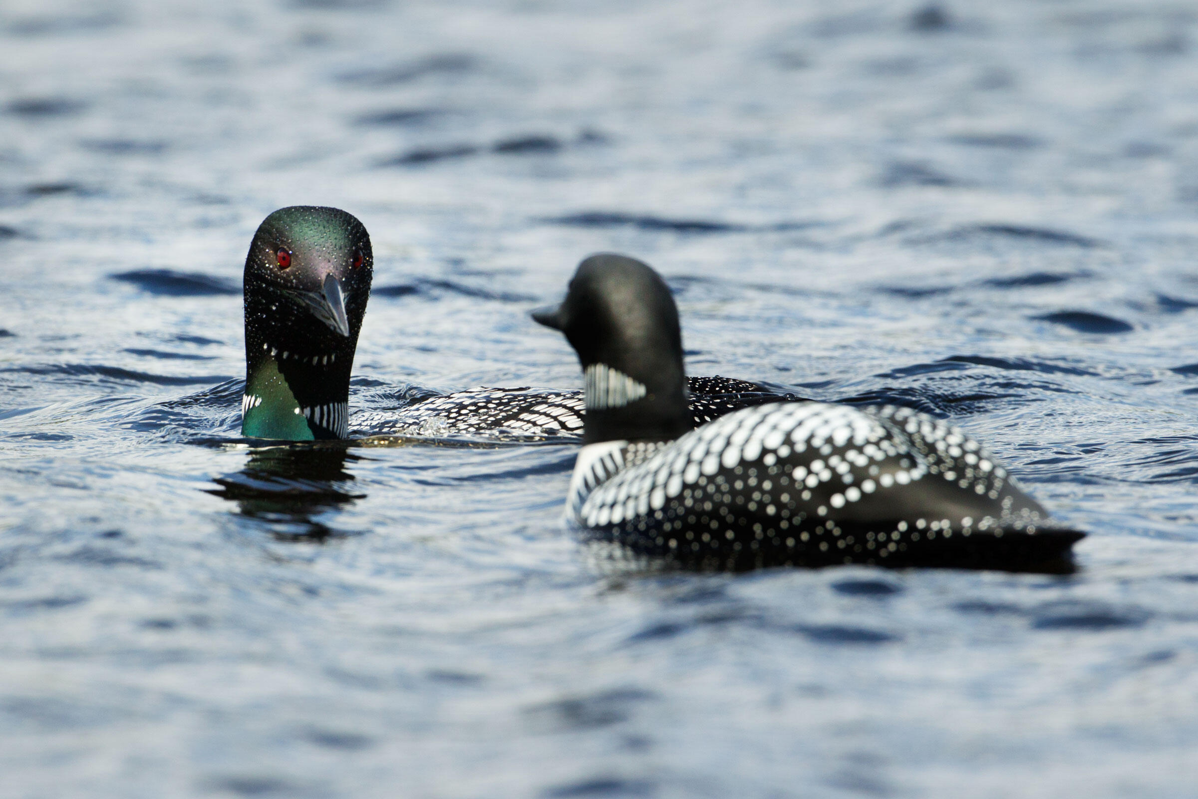 Two Loons_JF15. A loon approaches a decoy scientists are using to lure it into a trap. Photograph by Connor Stefanison