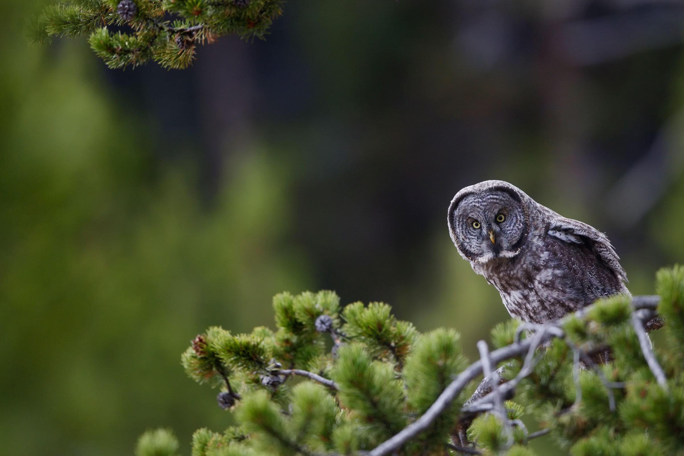 Great Gray Owl. Melyssa St. Michael/Audubon Photography Awards