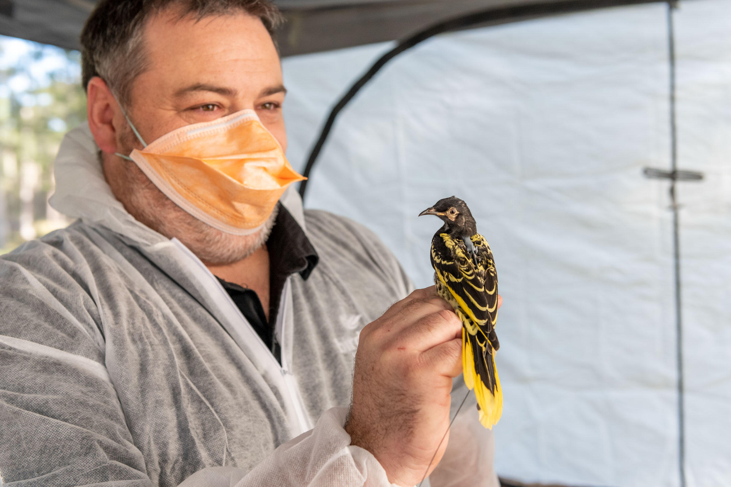 Dean Ingwersen, NSW Woodland Bird Program Manager from BirdLife Australia, holds a captive bred Regent Honeyeater. Doug Gimesy