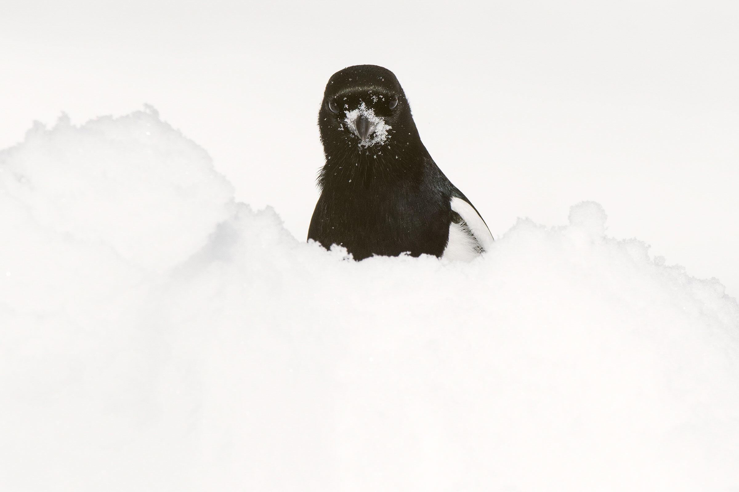 Black-billed Magpie. Gene Putney/Audubon Photography Awards