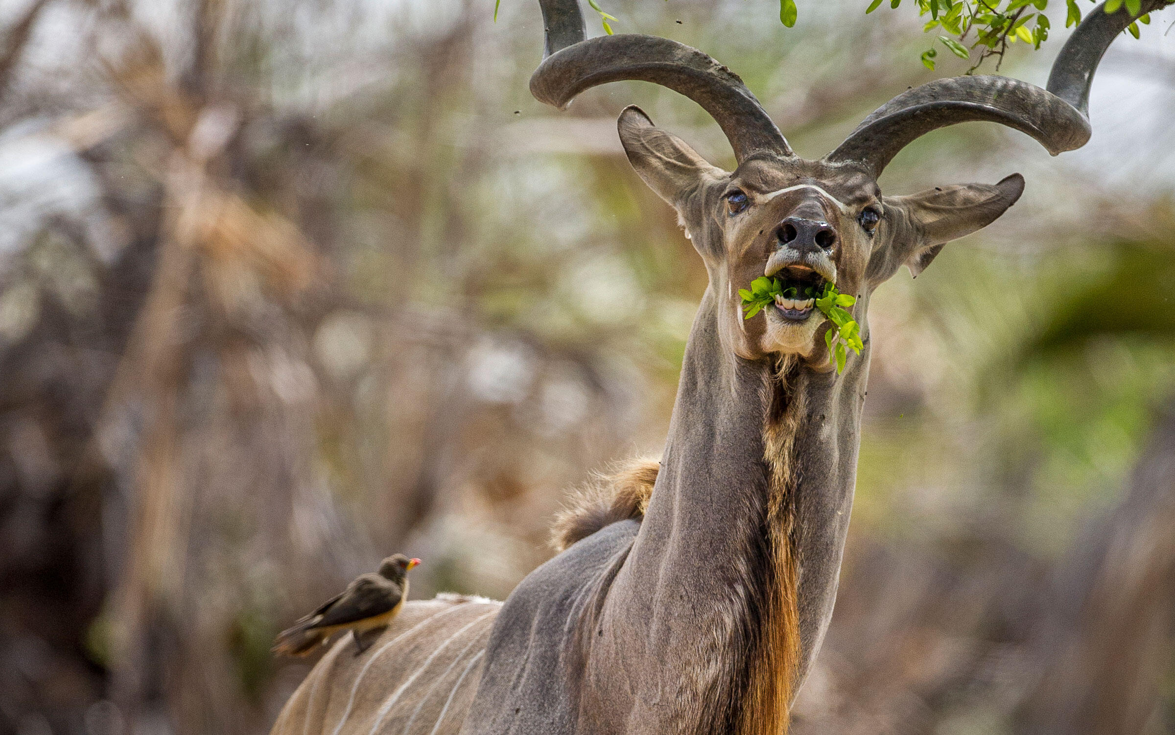 The greater kudu is a large and magnificent antelope. The males have spiral horns which can reach nearly 2 meters in length. Robert J. Ross