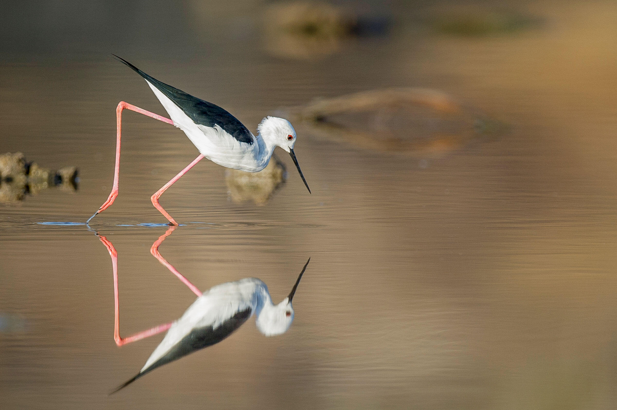 The Black-winged Stilt is a graceful wader found at the edge of many of the lakes and rivers in the Selous. Robert J. Ross