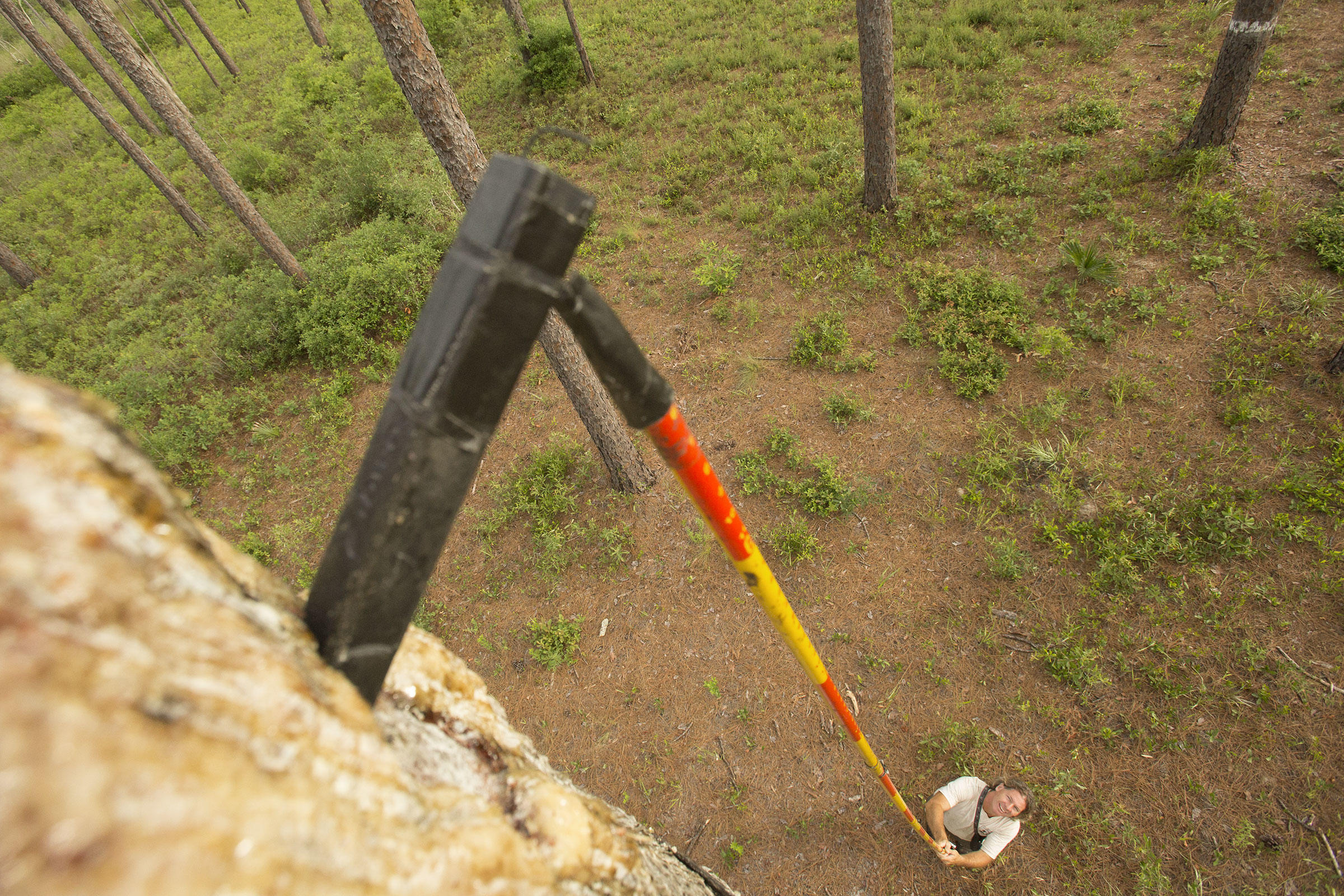The telescoping pole that allows researchers to spy on a Red-cockaded Woodpecker nest. Mac Stone