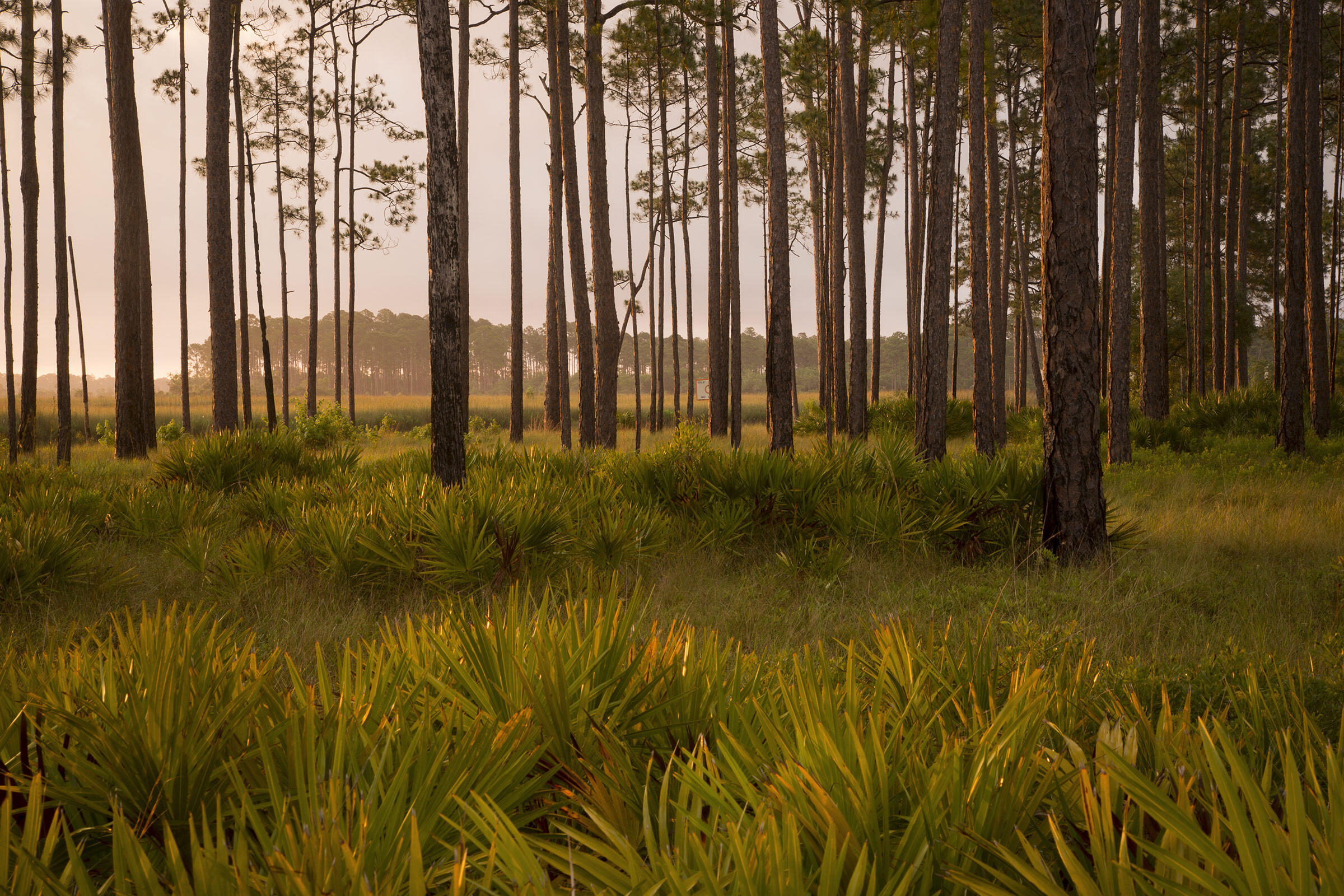 Today's largest concentration of RCWs lives in central Florida's Panhandle, which includes the St. Marks wildlife refuge. Mac Stone