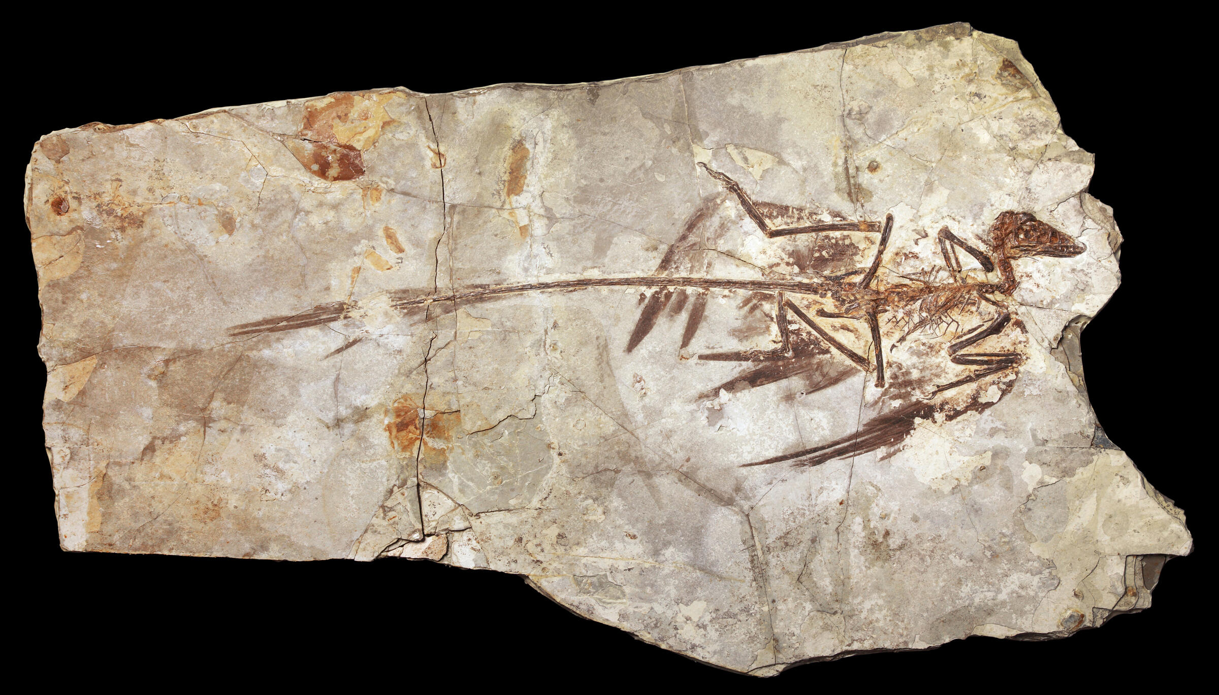 2000, Microraptor: This 130-million-year-old dinosaur, also from China, had four wings, demonstrating that some dinosaurs could fly and reinforcing the growing consensus that birds were dinosaurs. AMNH