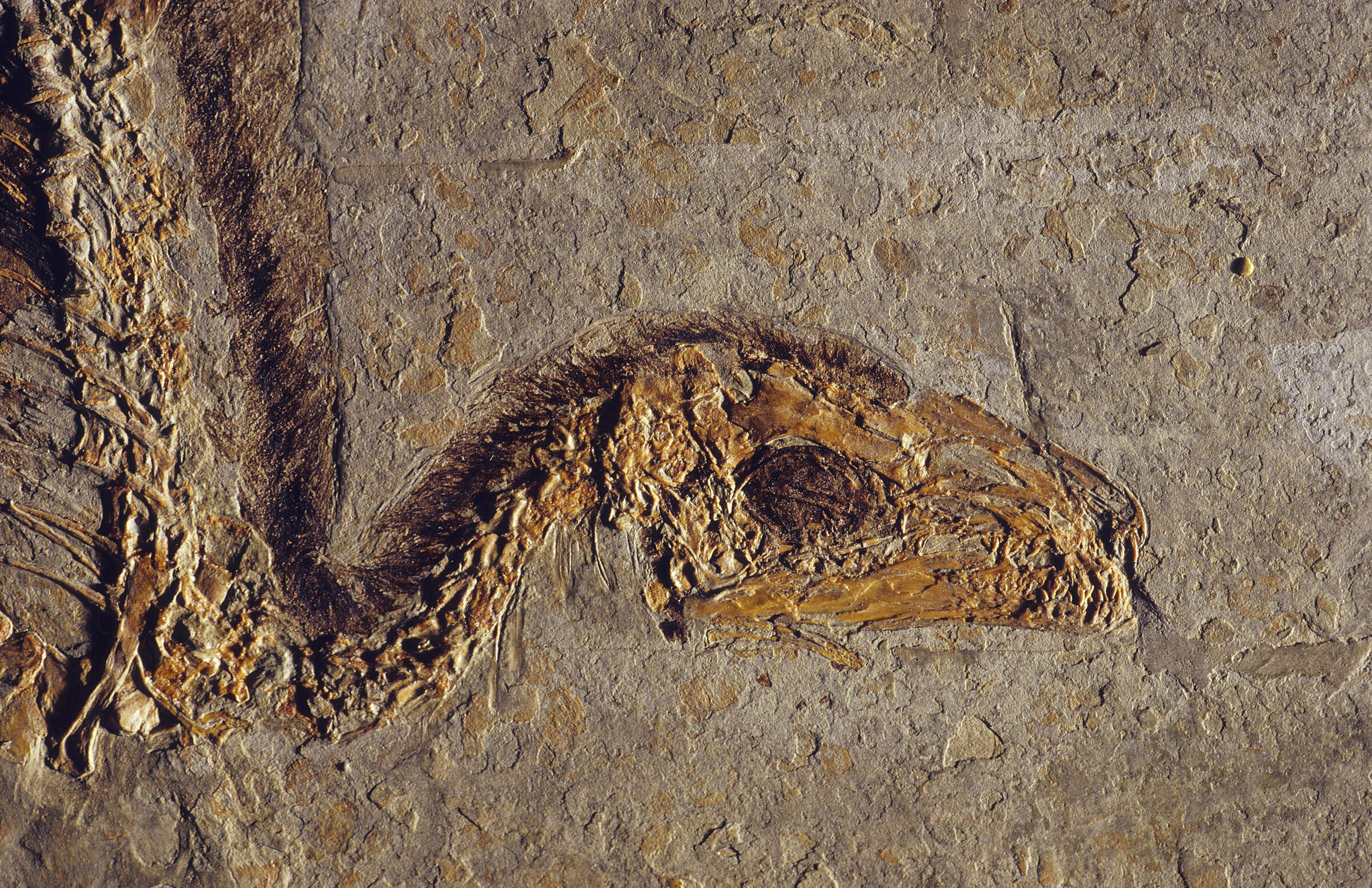 1996, Sinosauropteryx: Another find from China's fossil treasure troves, this carnivore was the first non-avian dinosaur discovered to have feathers, although they were simple and hair-like. Thomas Ernsting/laif/Redux