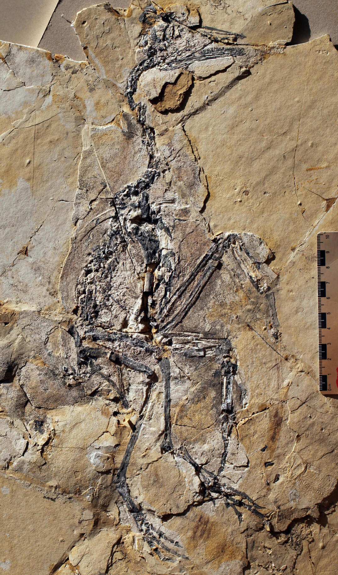 January 1, 2001 Yanornis  This 120-million-year-old bird had evolved some modern bird-like features, such as a wishbone. Remains from the crops of some specimens show that the species ate fish. FunkMonk/Wikimedia Commons