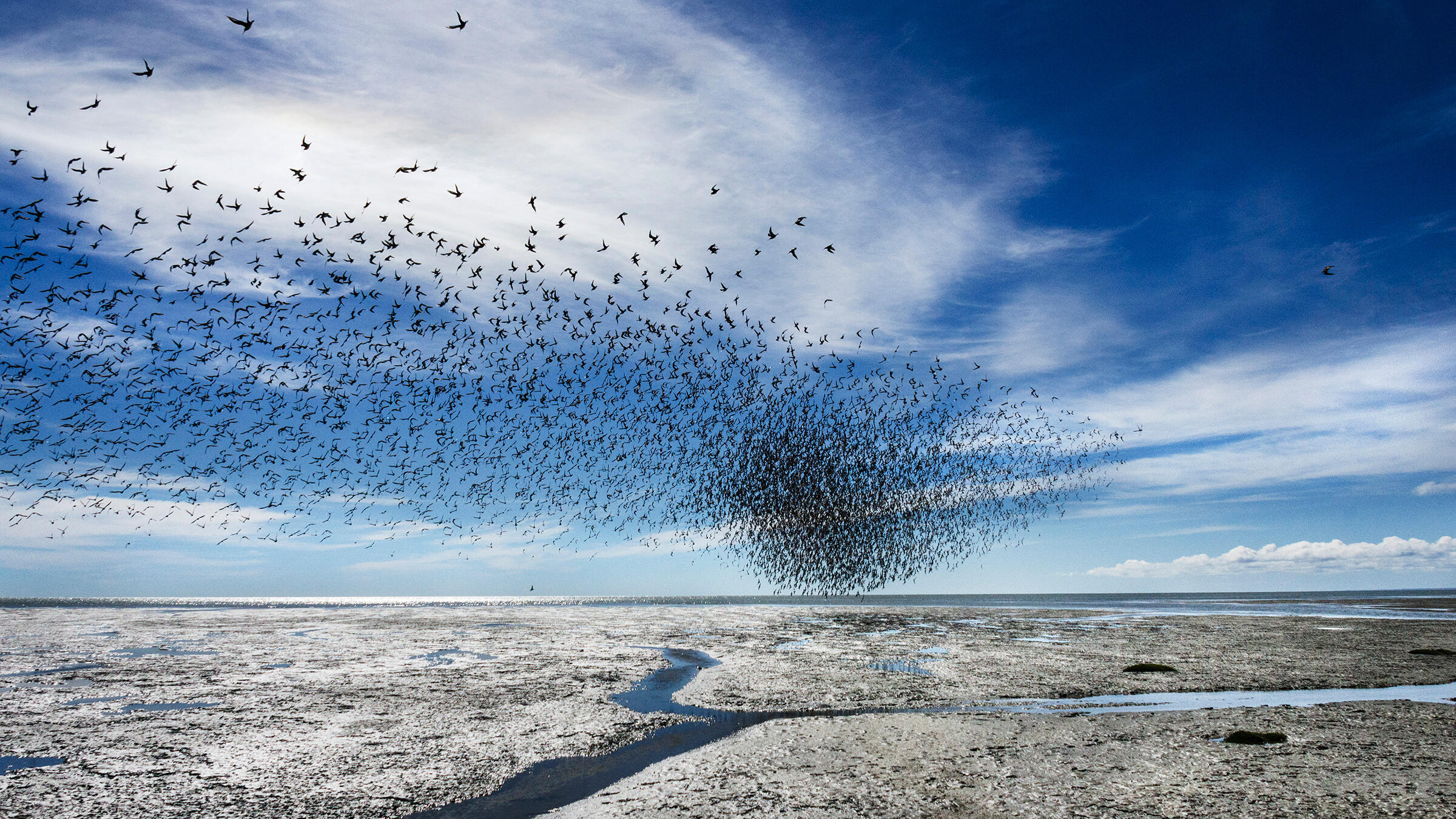 Red Knots and Hudsonian Godwits in Bahía Lomas, Tierra del Fuego. The knots, which flew some 9,000 miles to reach this spot, will winter here, then return to the Arctic to breed. Antonio Larrea